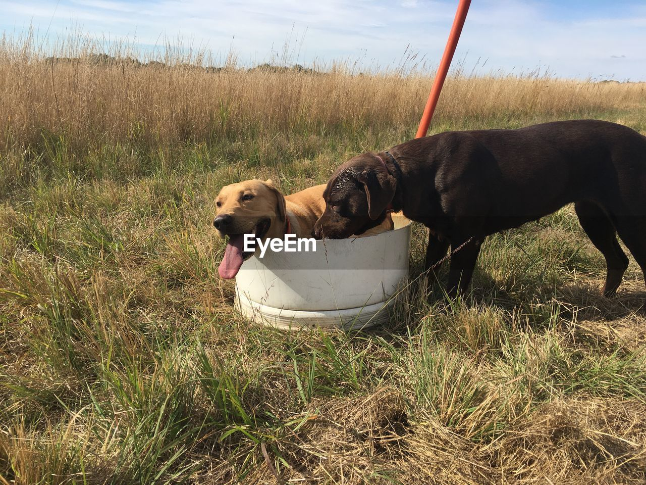 pets, domestic, domestic animals, canine, dog, mammal, animal themes, animal, one animal, vertebrate, grass, plant, field, land, nature, day, no people, relaxation, outdoors, growth, mouth open
