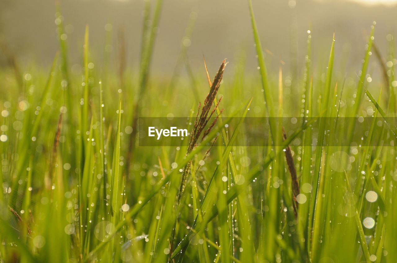 plant, green color, growth, beauty in nature, nature, field, close-up, land, selective focus, grass, wet, water, drop, day, tranquility, blade of grass, no people, outdoors, agriculture, dew, rain, raindrop