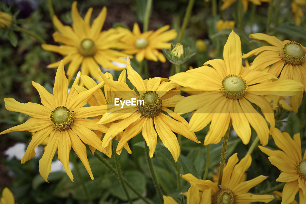 yellow, flower, petal, fragility, nature, flower head, beauty in nature, growth, freshness, plant, black-eyed susan, no people, day, outdoors, pollen, focus on foreground, blooming, close-up