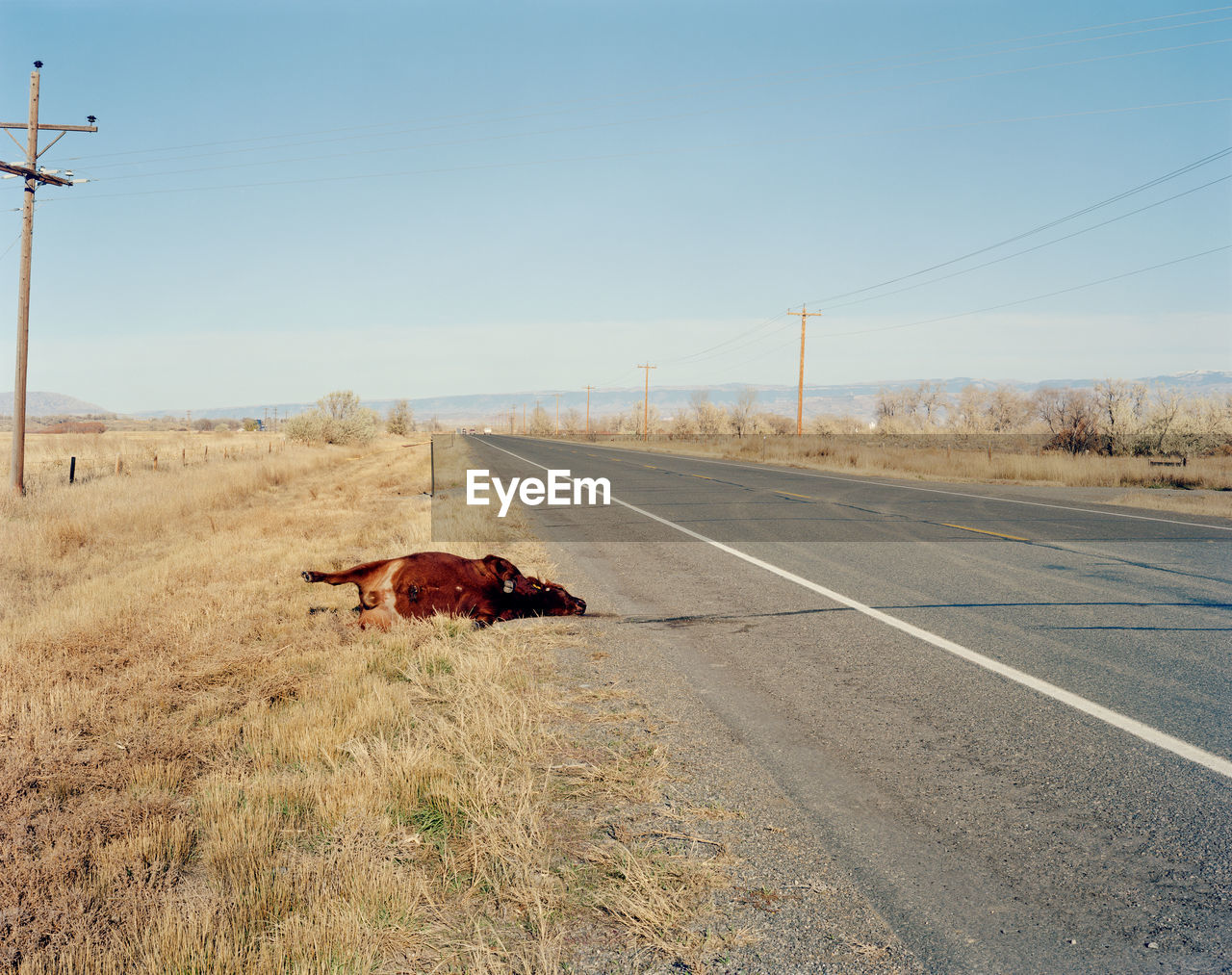 Cow lying on roadside against clear sky
