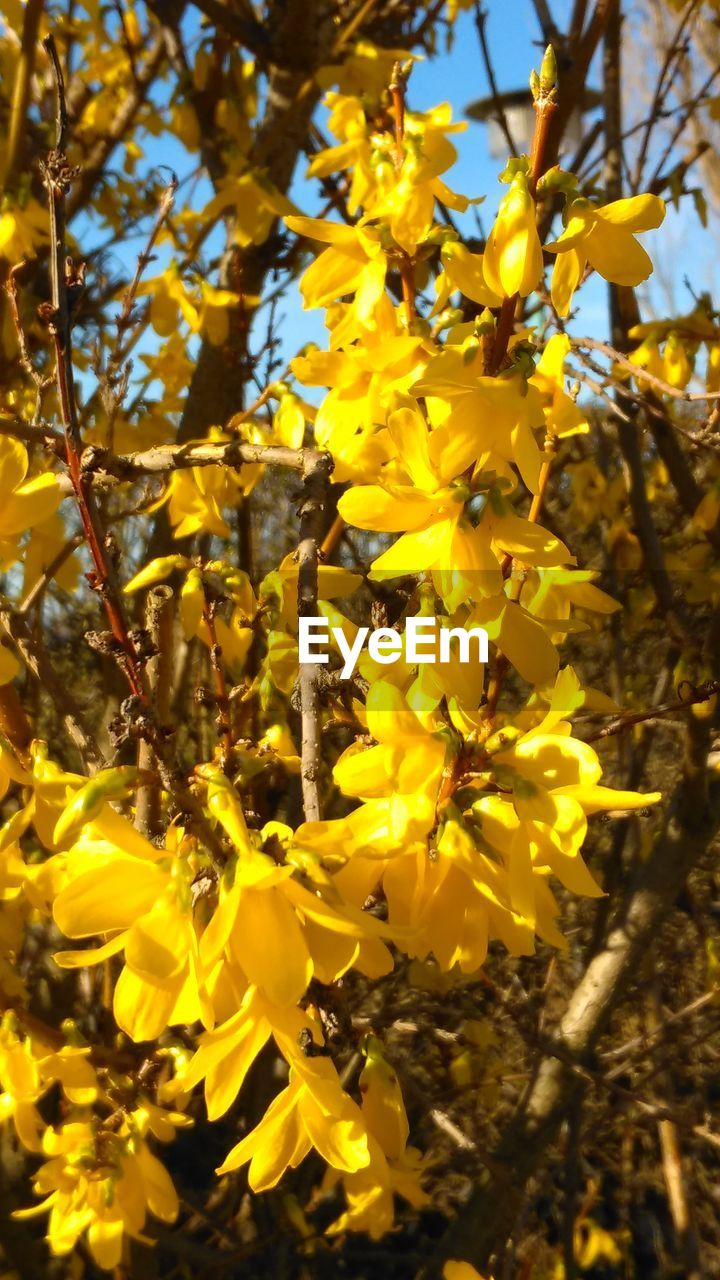 yellow, flower, growth, nature, blossom, plant, fragility, beauty in nature, no people, outdoors, freshness, branch, blooming, close-up, day