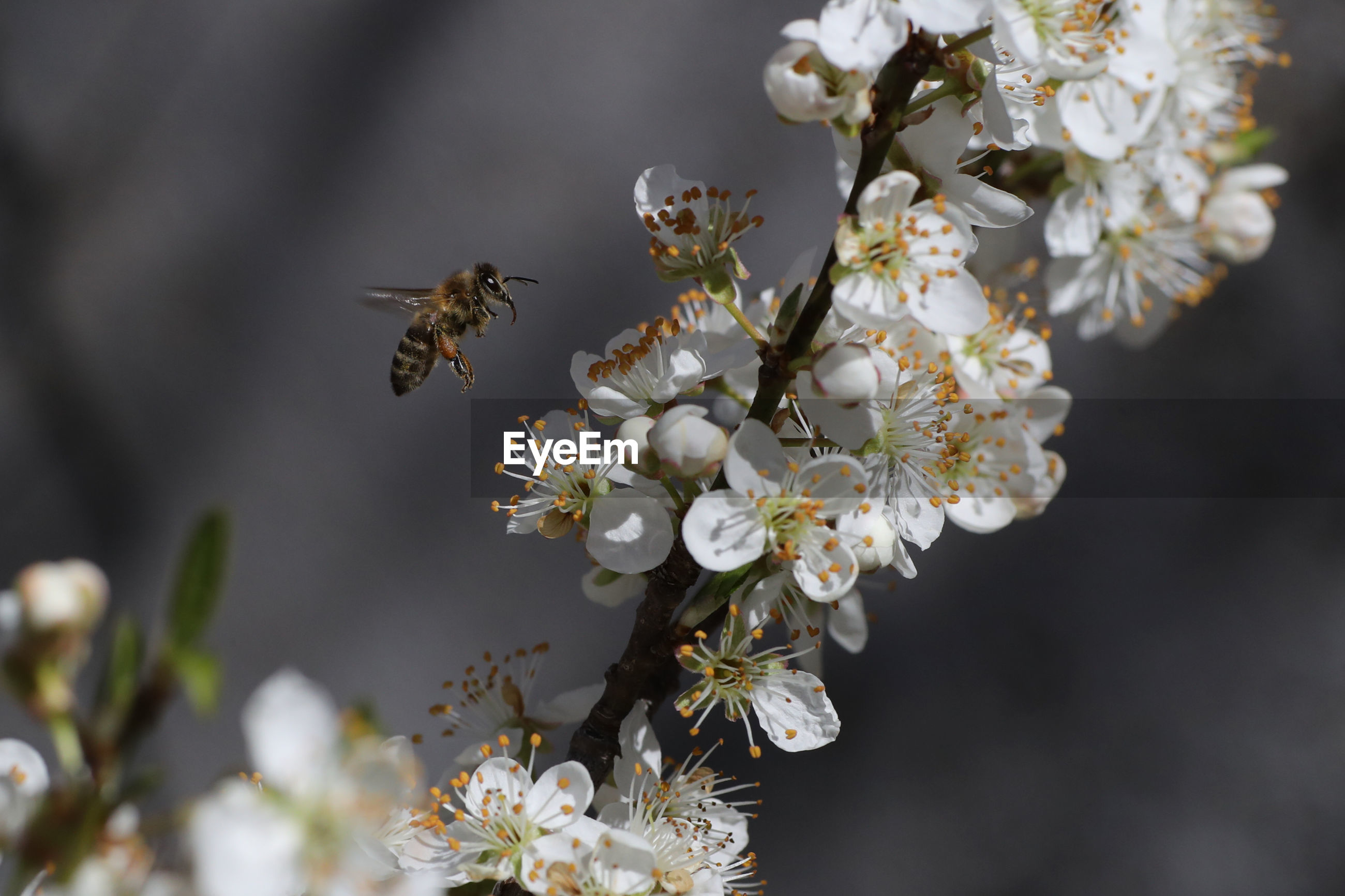 CLOSE-UP OF BEE ON WHITE CHERRY BLOSSOMS