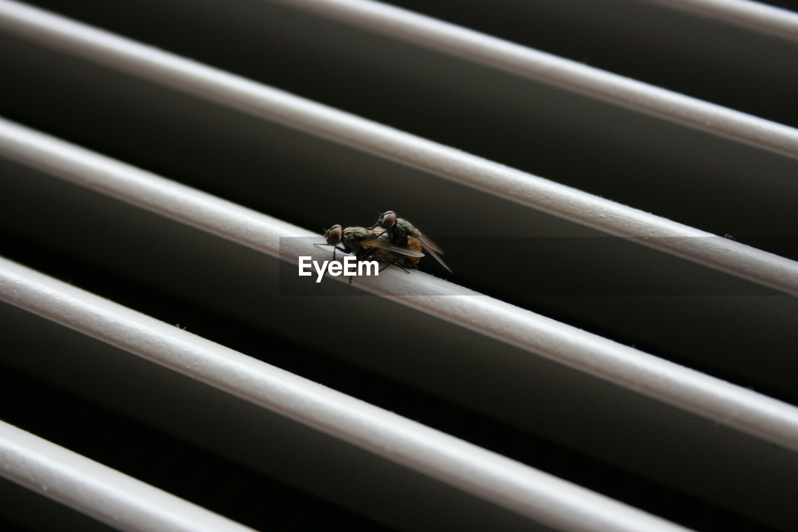 Close-up of houseflies mating on white security bar