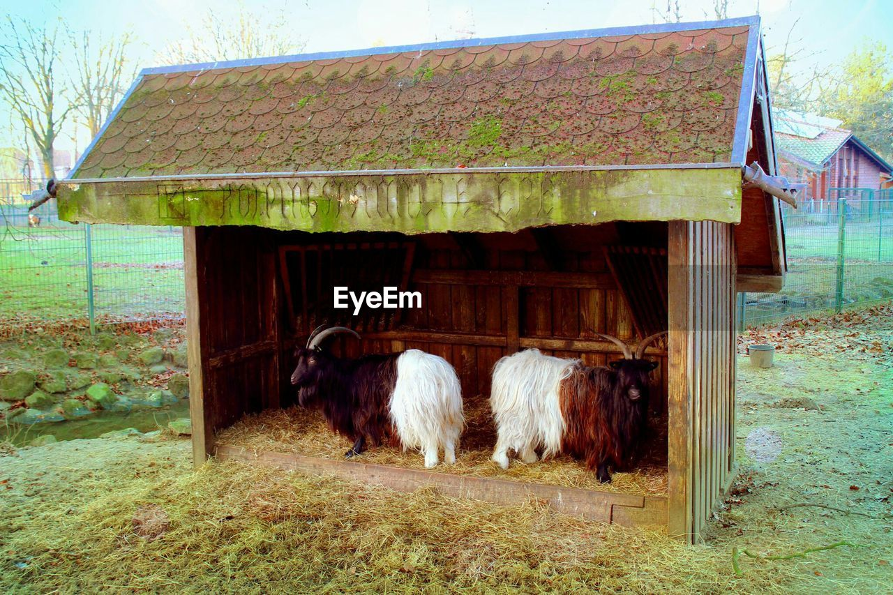 Full Length Side View Of Goats In Shed