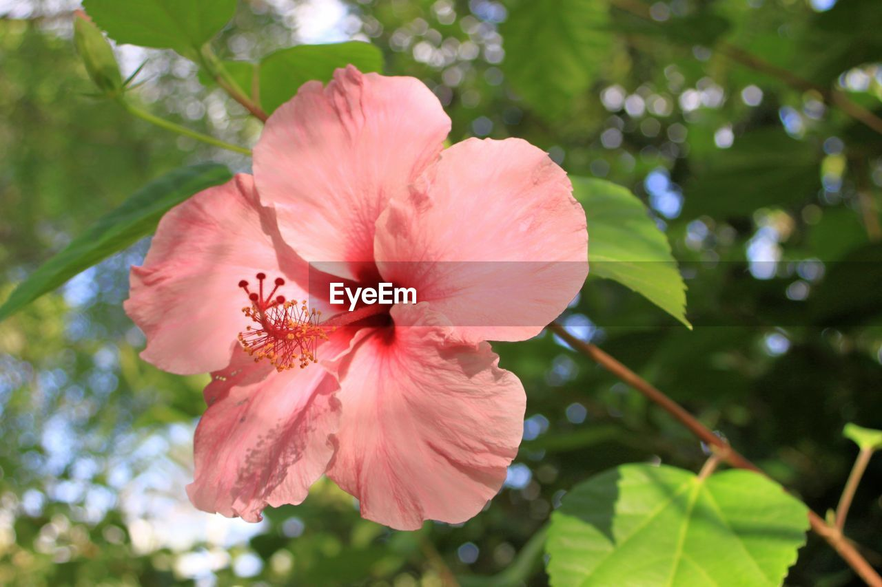 plant, flowering plant, fragility, vulnerability, flower, petal, growth, freshness, inflorescence, beauty in nature, flower head, close-up, pink color, focus on foreground, hibiscus, no people, day, pollen, nature, stamen, outdoors