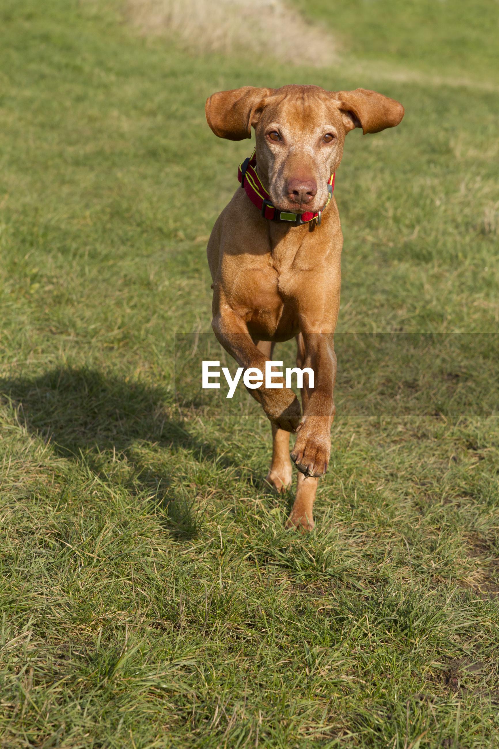 Active dog magyar vizsla running in a meadow