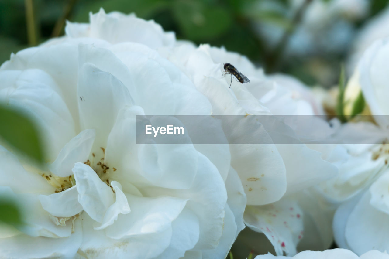 flowering plant, flower, beauty in nature, insect, petal, invertebrate, flower head, plant, animals in the wild, growth, vulnerability, close-up, freshness, animal wildlife, white color, fragility, animal themes, one animal, animal, inflorescence, no people, pollen, pollination