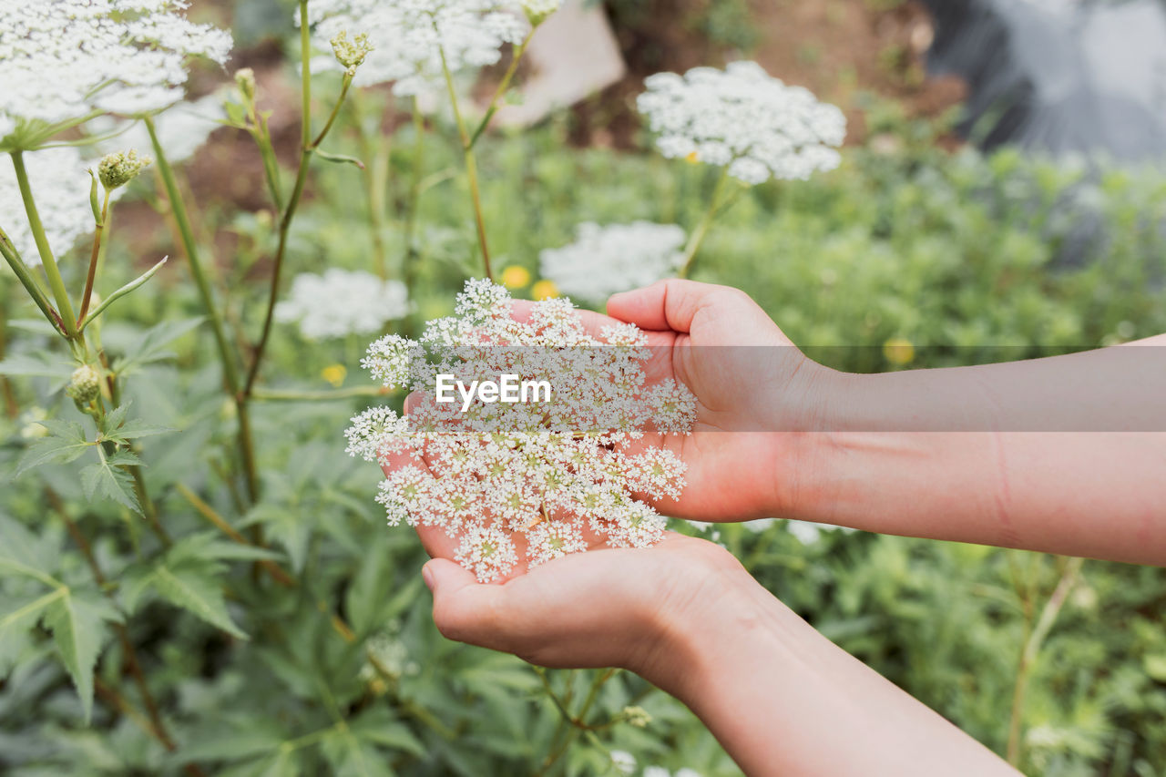 Close-ups of hand holding white flowers