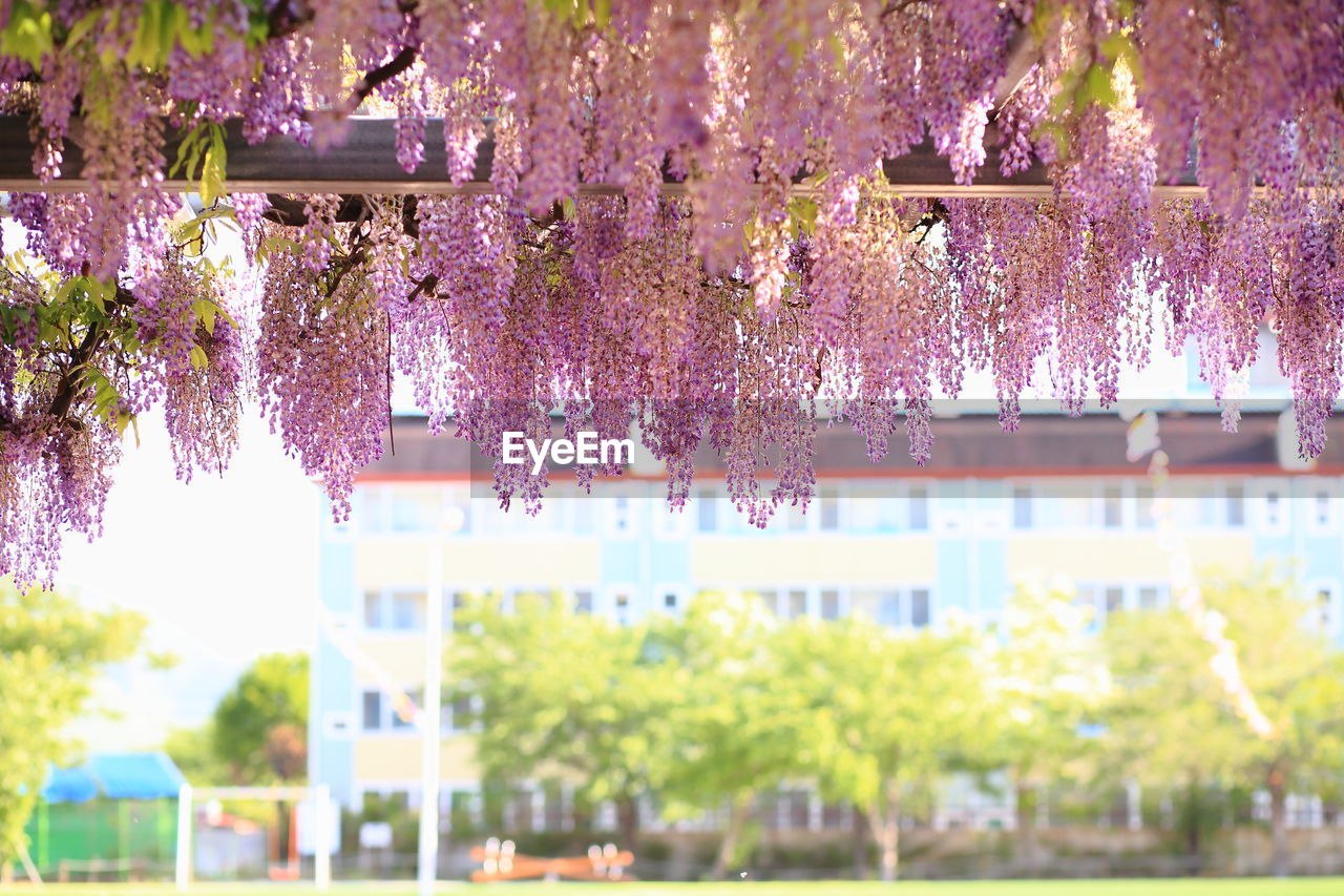 tree, plant, architecture, nature, blossom, flower, built structure, growth, flowering plant, building exterior, freshness, pink color, fragility, day, springtime, beauty in nature, vulnerability, no people, outdoors, branch, cherry blossom, cherry tree, purple