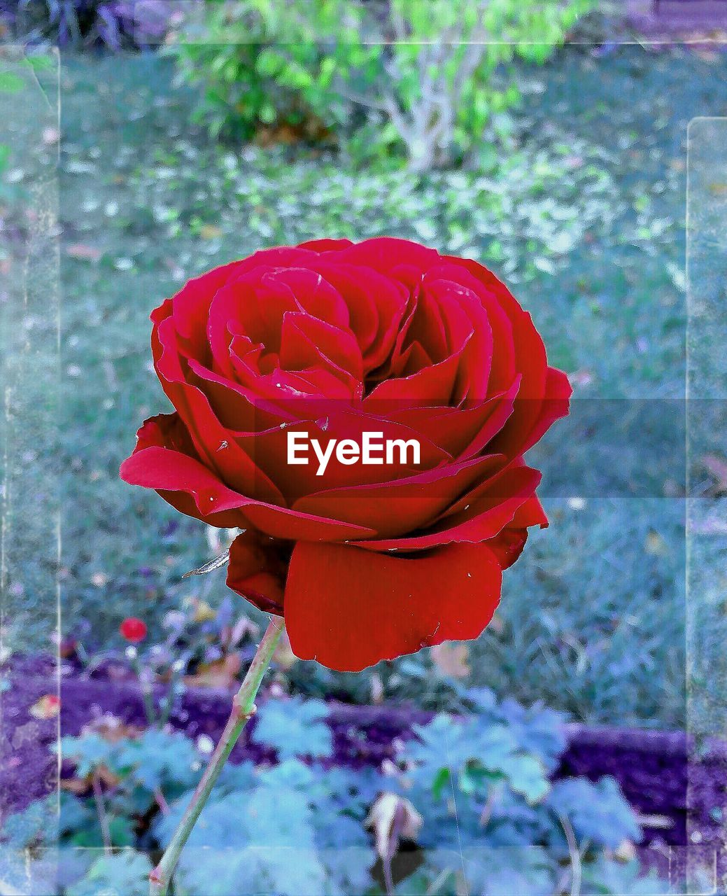 flower, petal, fragility, beauty in nature, nature, red, freshness, growth, flower head, blooming, plant, close-up, outdoors, no people, focus on foreground, day, rose - flower