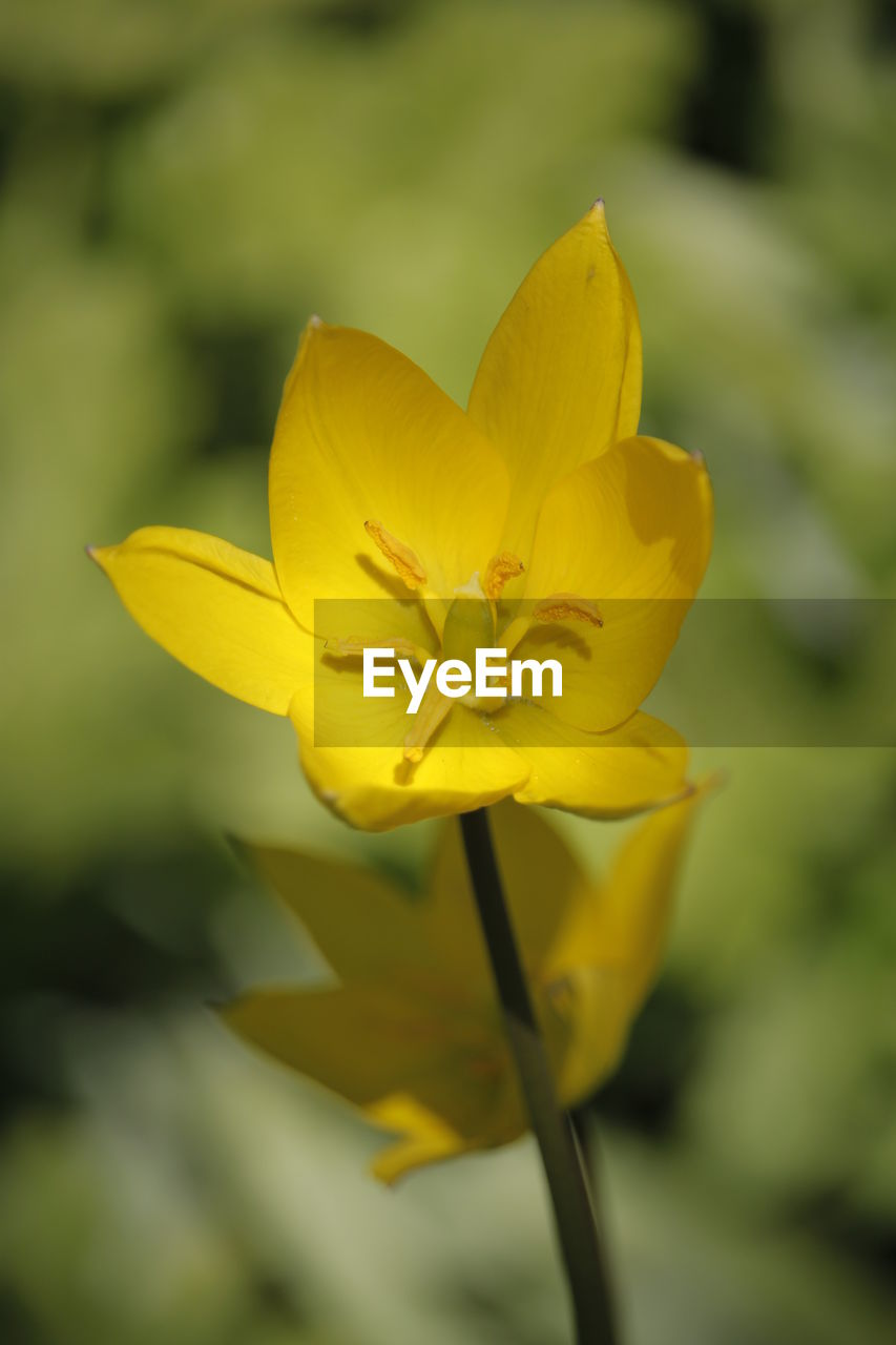 flower, flowering plant, vulnerability, fragility, freshness, plant, beauty in nature, yellow, petal, flower head, inflorescence, close-up, growth, nature, focus on foreground, no people, day, pollen, botany, outdoors