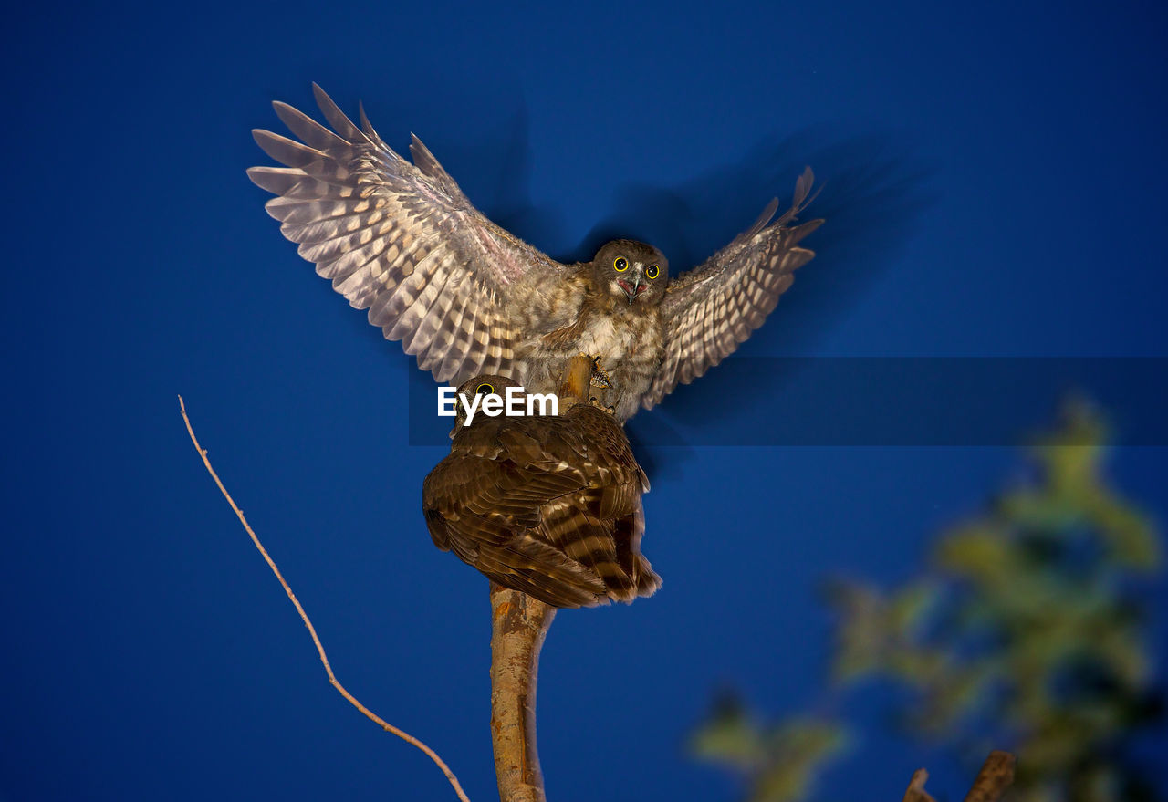 Low Angle View Of Hawk Owls Perching On Branch At Night