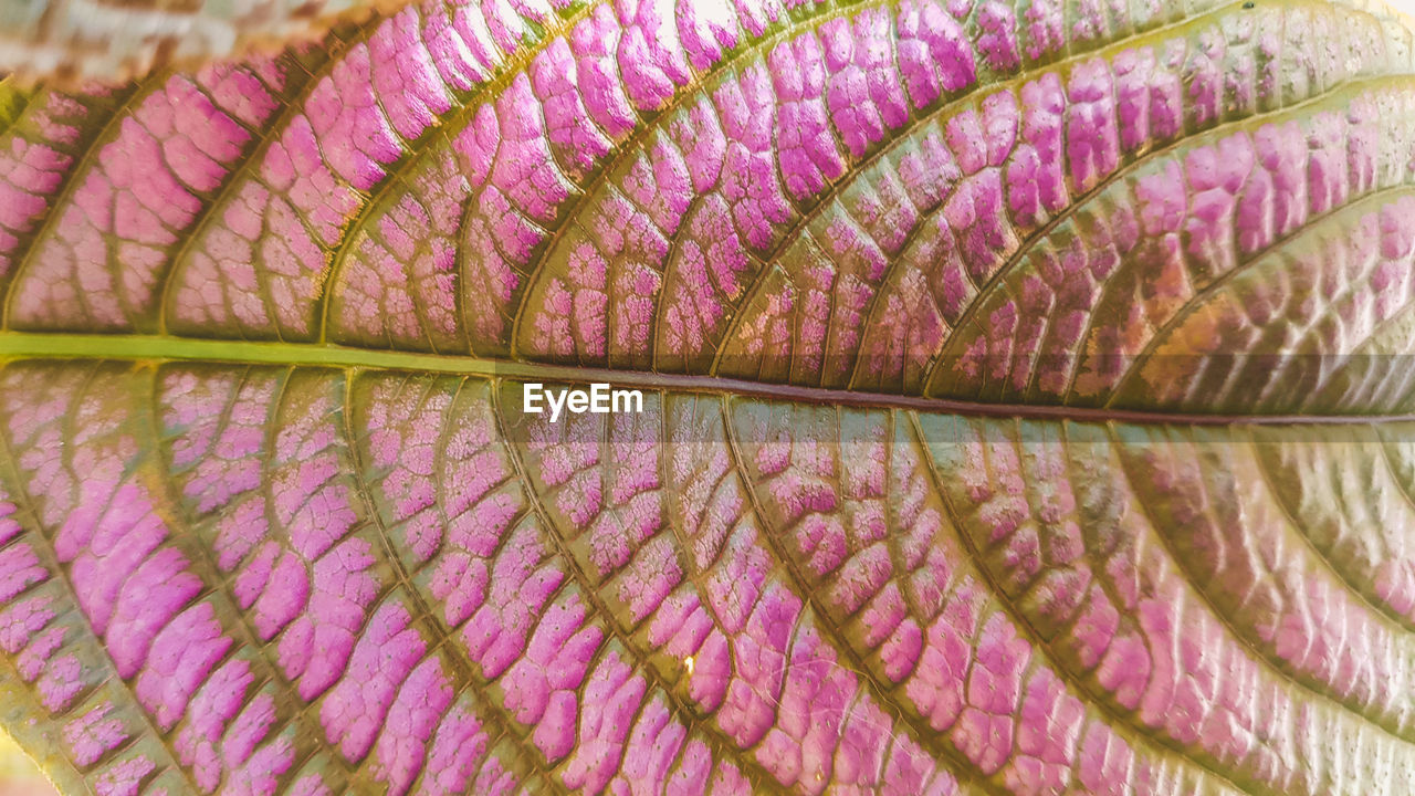 close-up, leaf vein, leaf, plant part, no people, fragility, natural pattern, full frame, vulnerability, freshness, extreme close-up, nature, beauty in nature, plant, macro, textured, backgrounds, outdoors, magnification, studio shot, purple, lightweight, textured effect