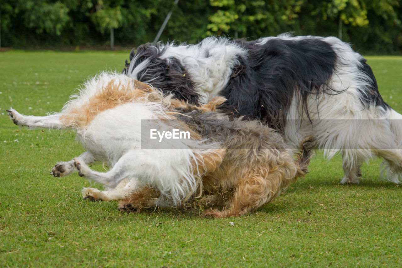 mammal, domestic animals, pets, domestic, animal, animal themes, canine, dog, grass, group of animals, two animals, plant, vertebrate, field, nature, day, land, no people, relaxation, outdoors, animal family