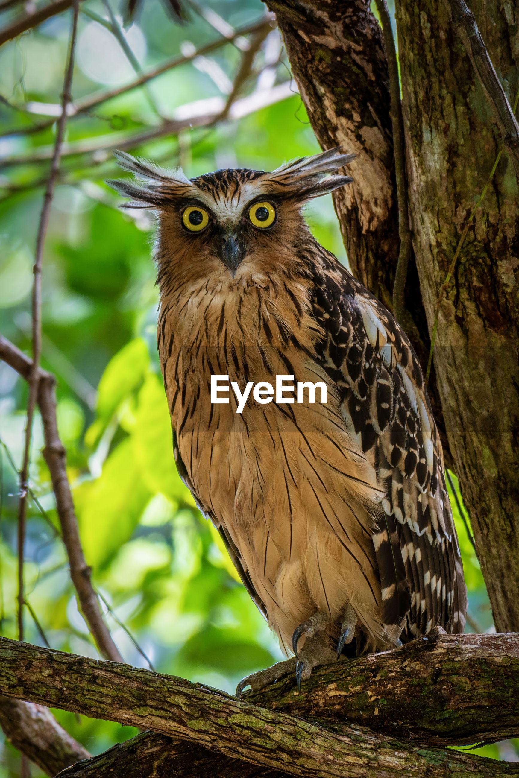 Portrait of buffy fish owl perching on tree