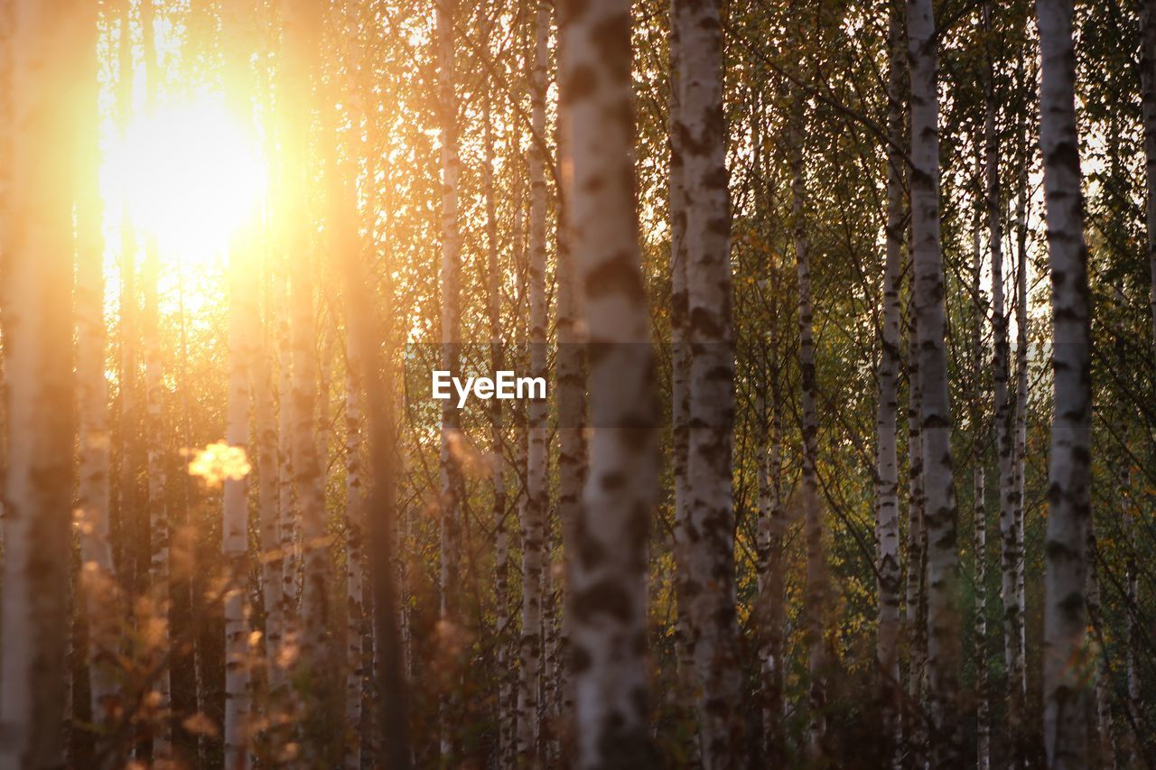 sunlight, sunset, plant, sun, no people, nature, beauty in nature, tranquility, selective focus, land, sky, close-up, lens flare, growth, sunbeam, outdoors, tree, scenics - nature, forest, tranquil scene, streaming