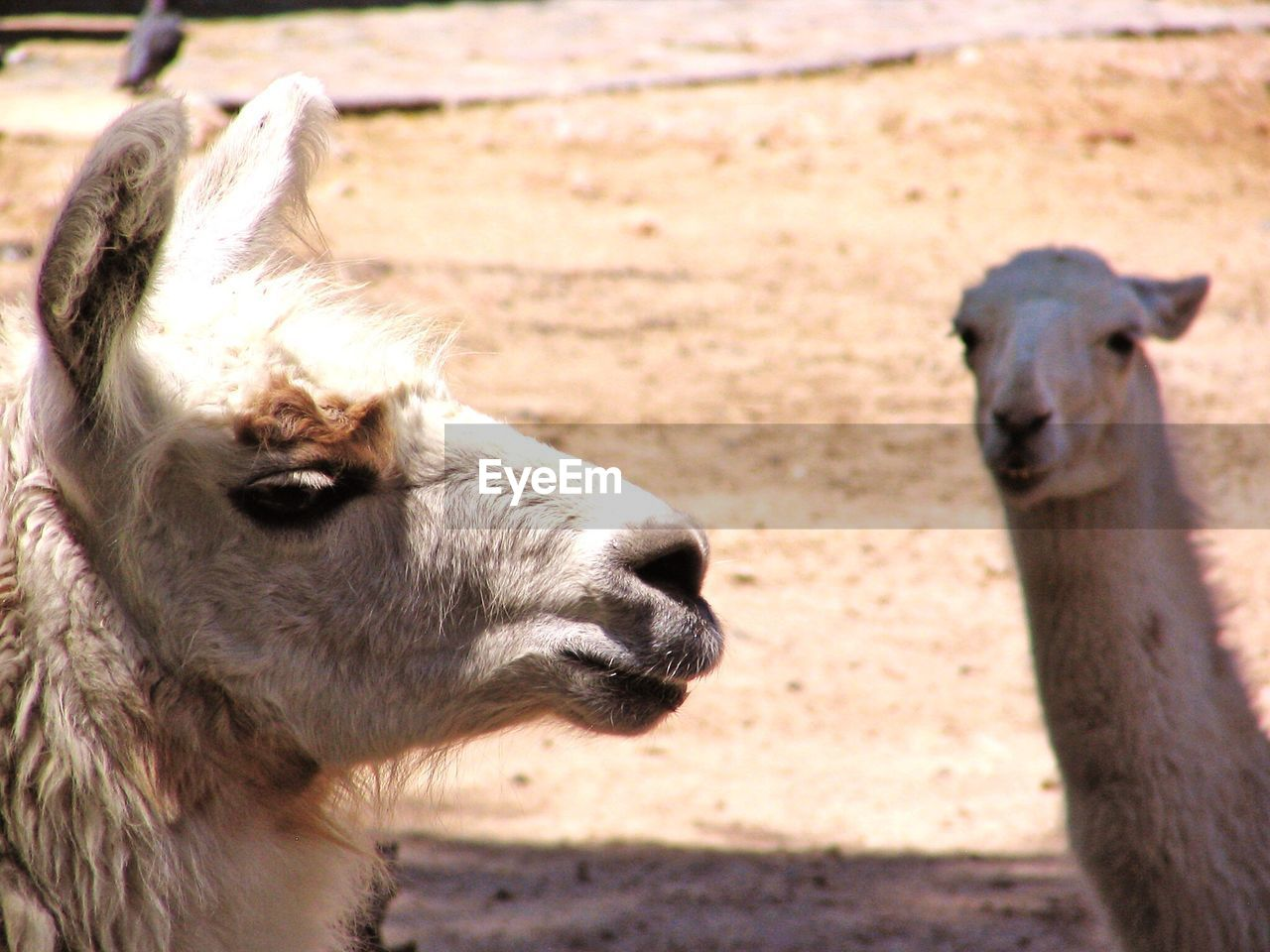 Close-up of llamas