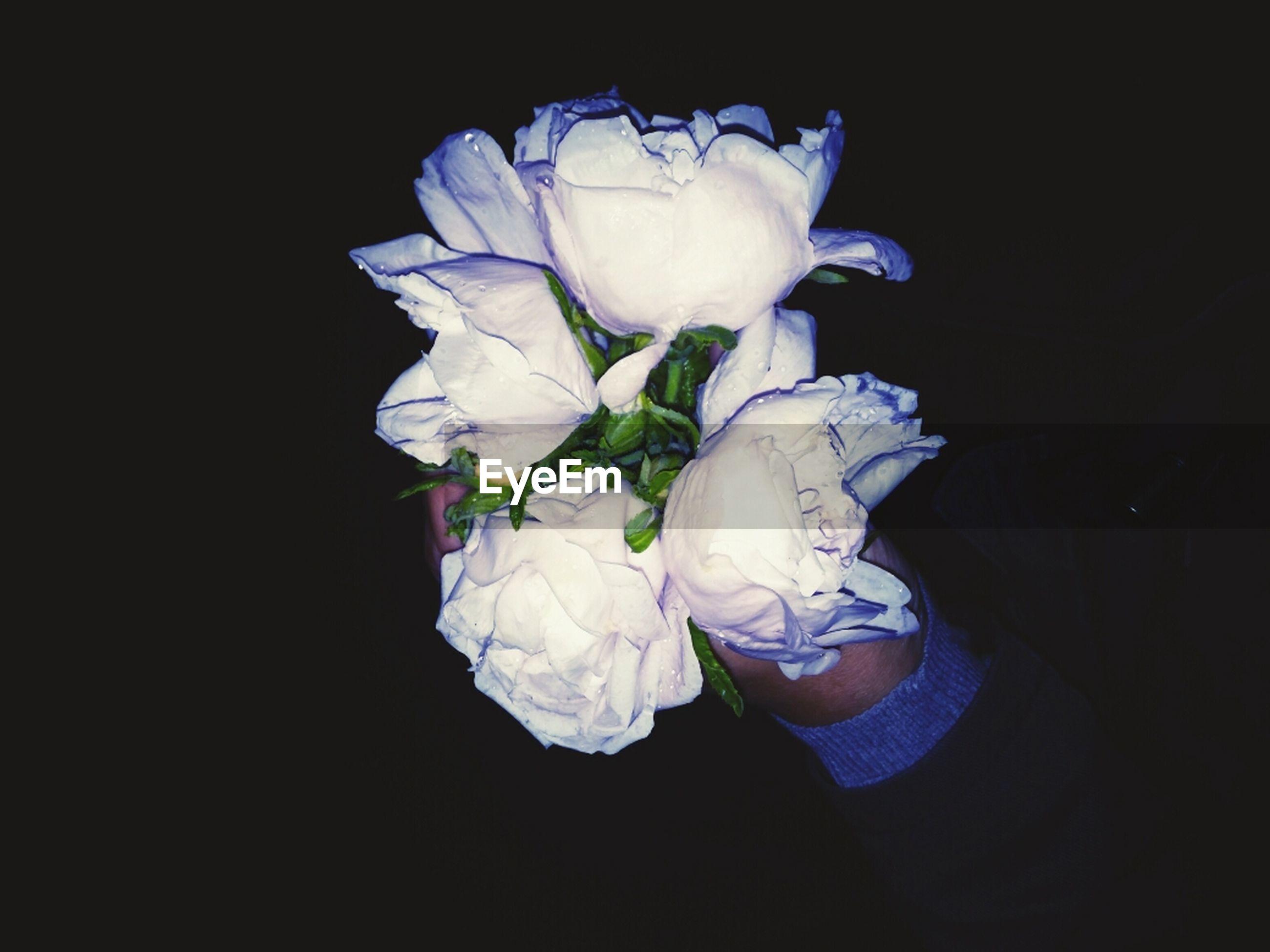 flower, black background, petal, studio shot, flower head, fragility, white color, freshness, close-up, beauty in nature, single flower, white, copy space, nature, night, rose - flower, dark, blooming, blossom, softness