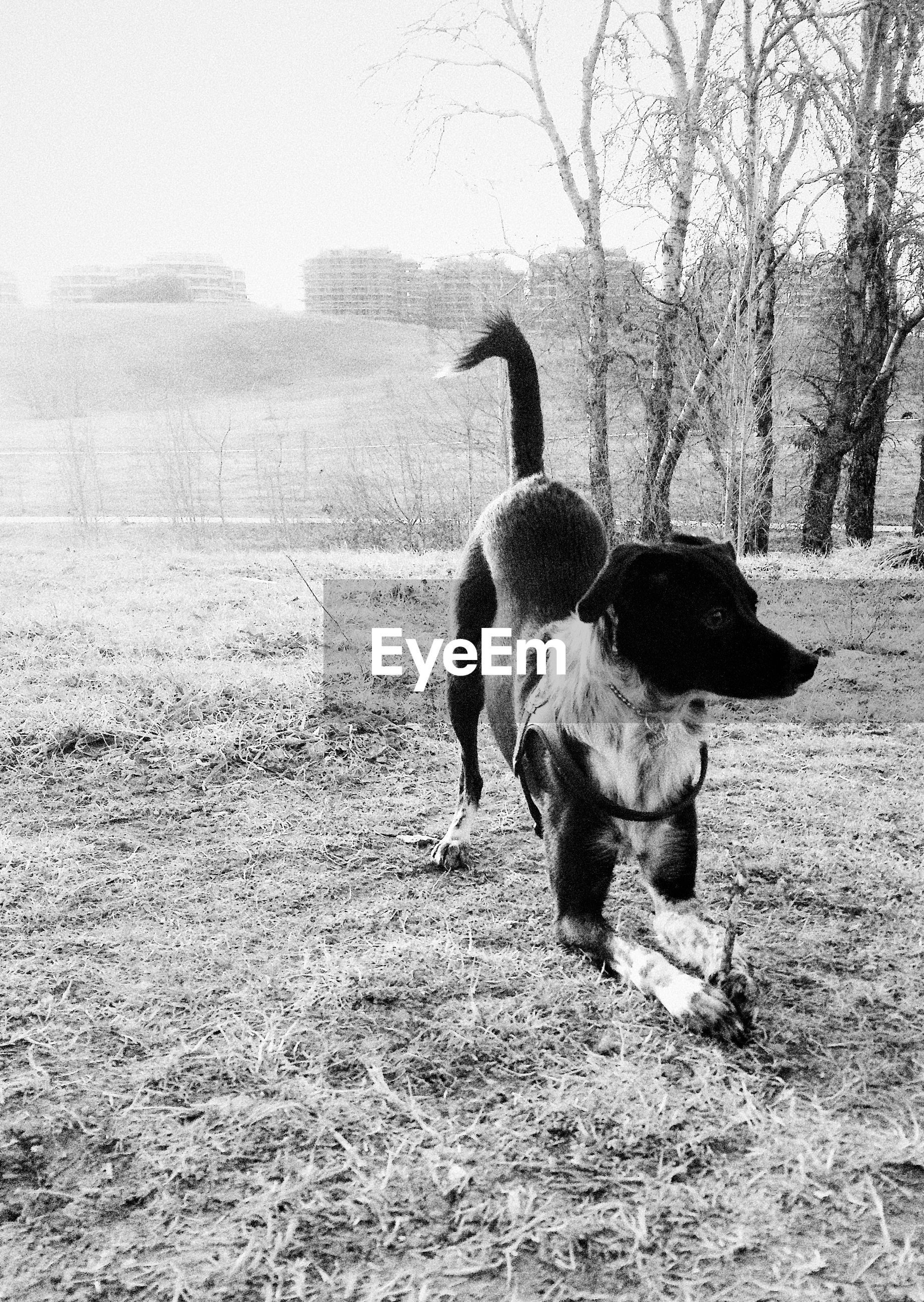 Dog with stick on field