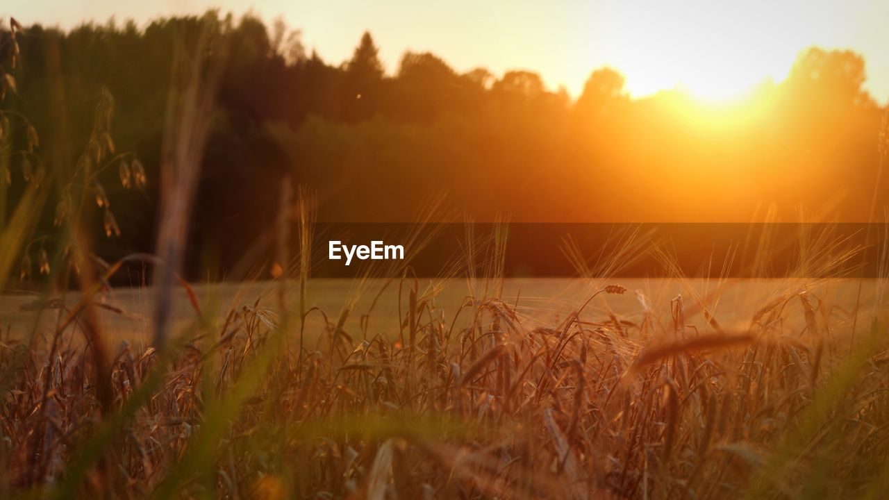 plant, tranquility, growth, land, beauty in nature, field, sunset, sky, landscape, tranquil scene, nature, scenics - nature, no people, rural scene, selective focus, sunlight, agriculture, grass, crop, environment, sun, outdoors