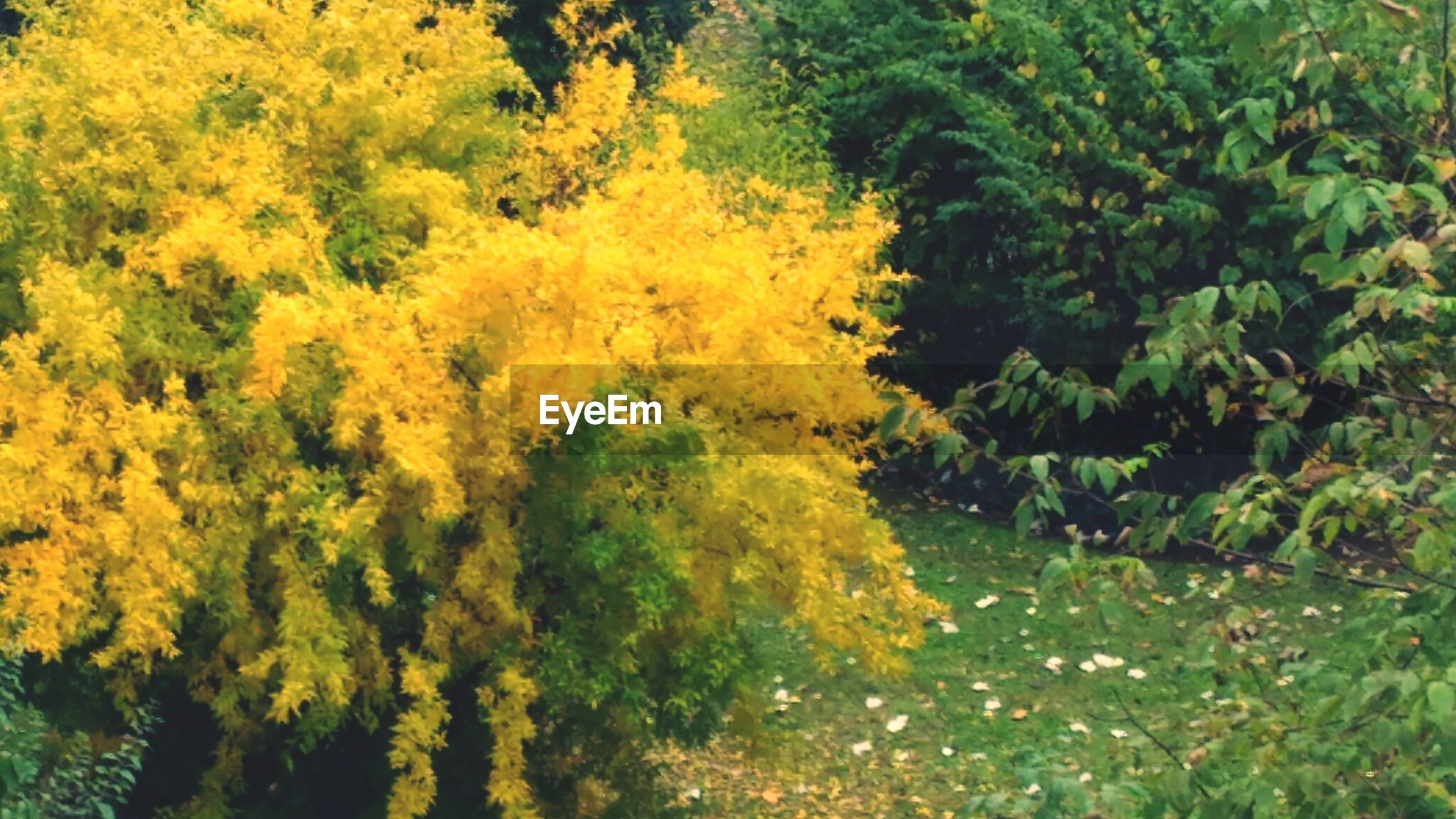 YELLOW TREES IN FOREST