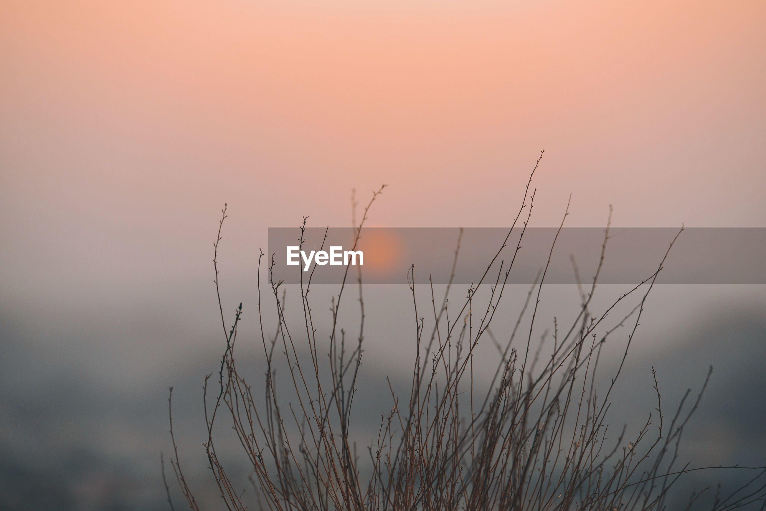 Plant against orange sky