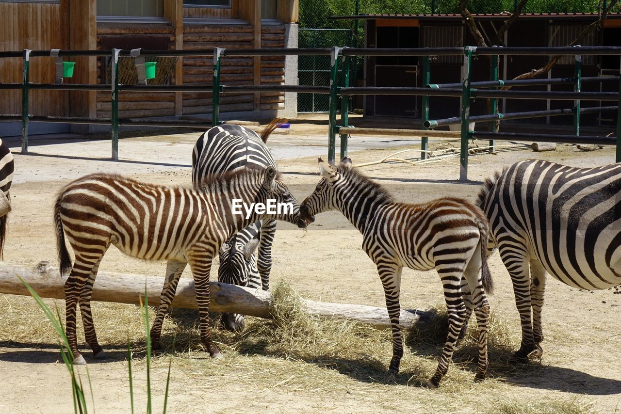group of animals, zebra, animal wildlife, striped, animal, animal themes, mammal, animals in the wild, vertebrate, nature, two animals, day, safari, no people, sunlight, animal markings, zoo, field, animals in captivity, outdoors, herbivorous