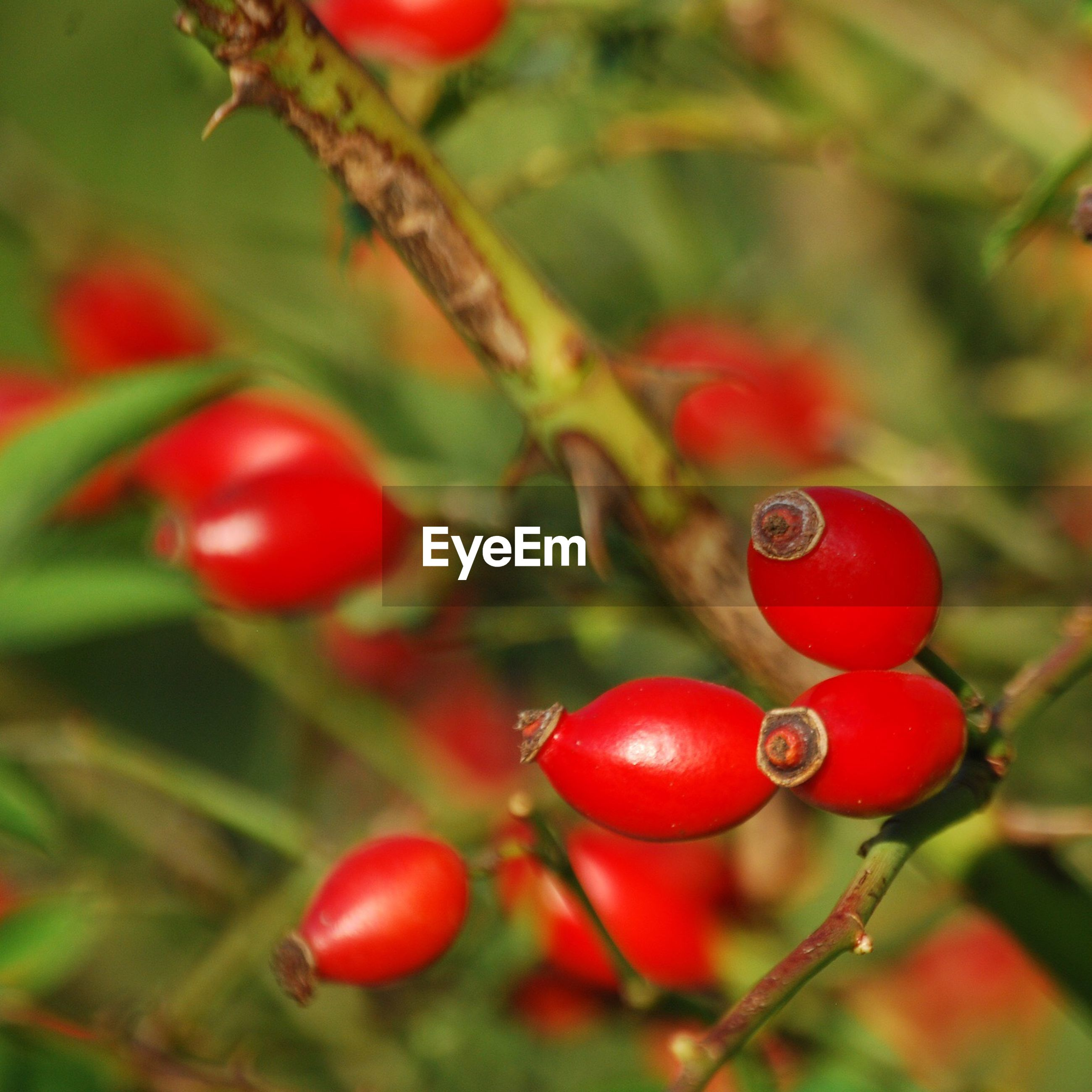 Close-up of red seeds growing on tree