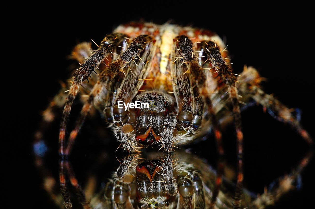 arachnid, spider, arthropod, close-up, one animal, invertebrate, animal themes, animals in the wild, animal wildlife, insect, animal, zoology, no people, studio shot, outdoors, selective focus, black background, focus on foreground, jumping spider, fragility, animal eye