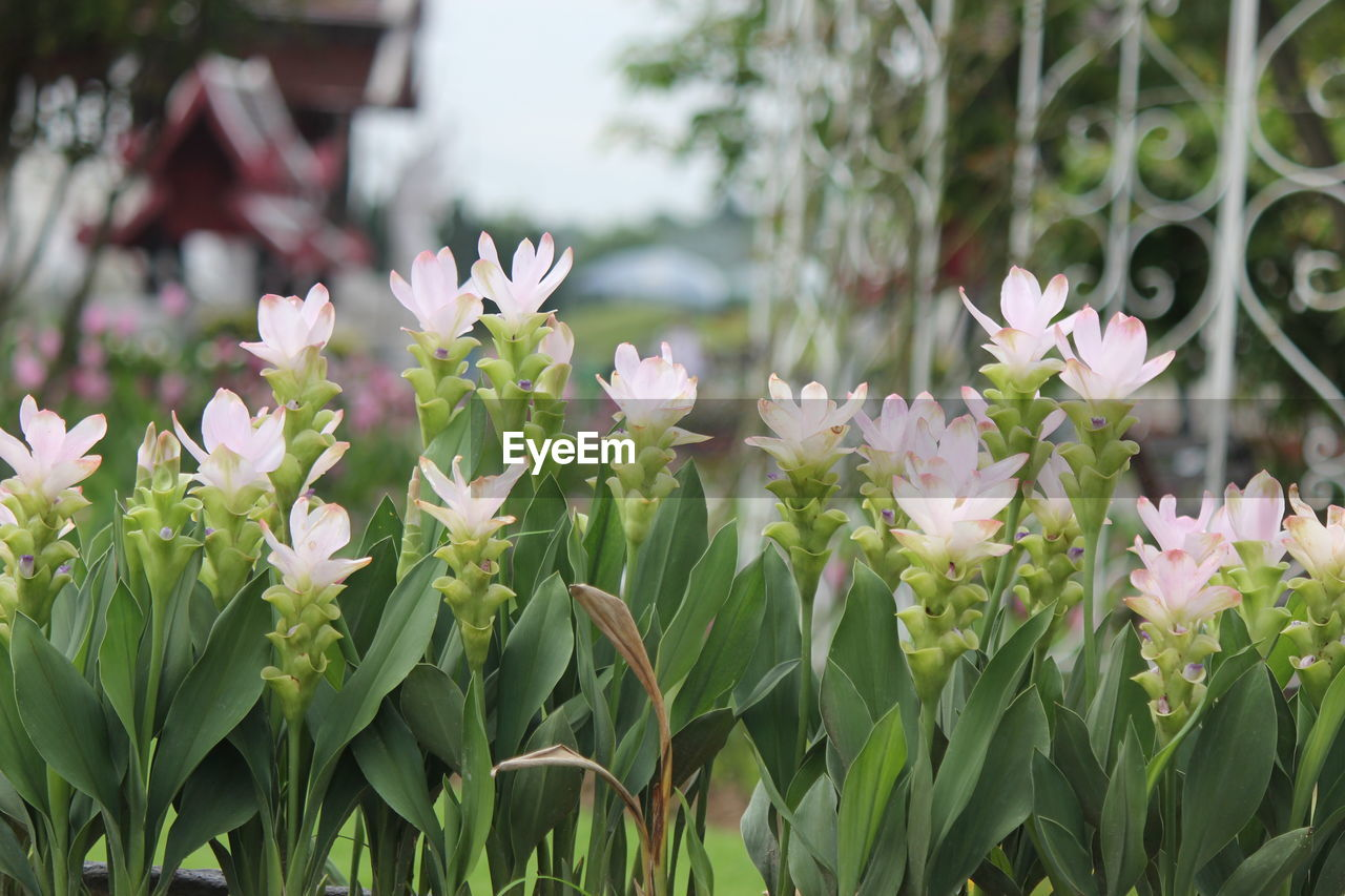 flowering plant, flower, freshness, plant, vulnerability, beauty in nature, fragility, petal, growth, close-up, nature, flower head, no people, focus on foreground, day, pink color, leaf, plant part, inflorescence, white color, outdoors