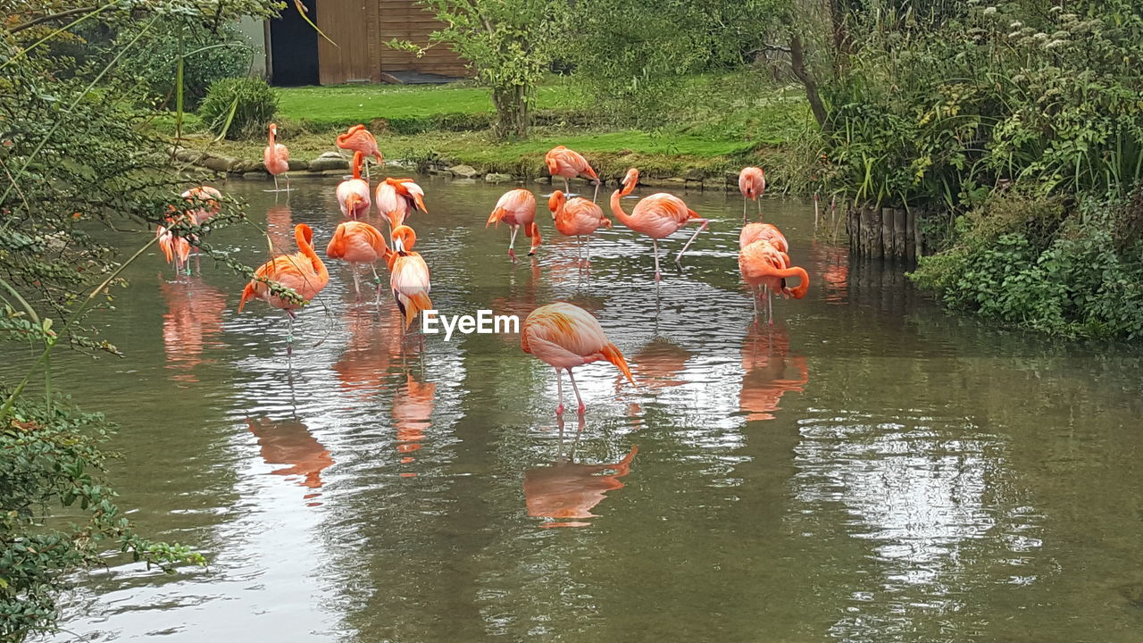flamingo, bird, animal themes, animals in the wild, reflection, nature, lake, orange color, animal wildlife, water, waterfront, outdoors, no people, day, large group of animals, beauty in nature, full length
