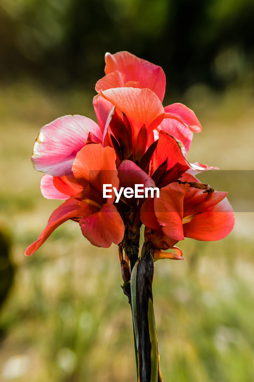 flowering plant, flower, petal, beauty in nature, fragility, plant, vulnerability, close-up, freshness, inflorescence, flower head, focus on foreground, growth, red, nature, no people, day, plant stem, outdoors, botany