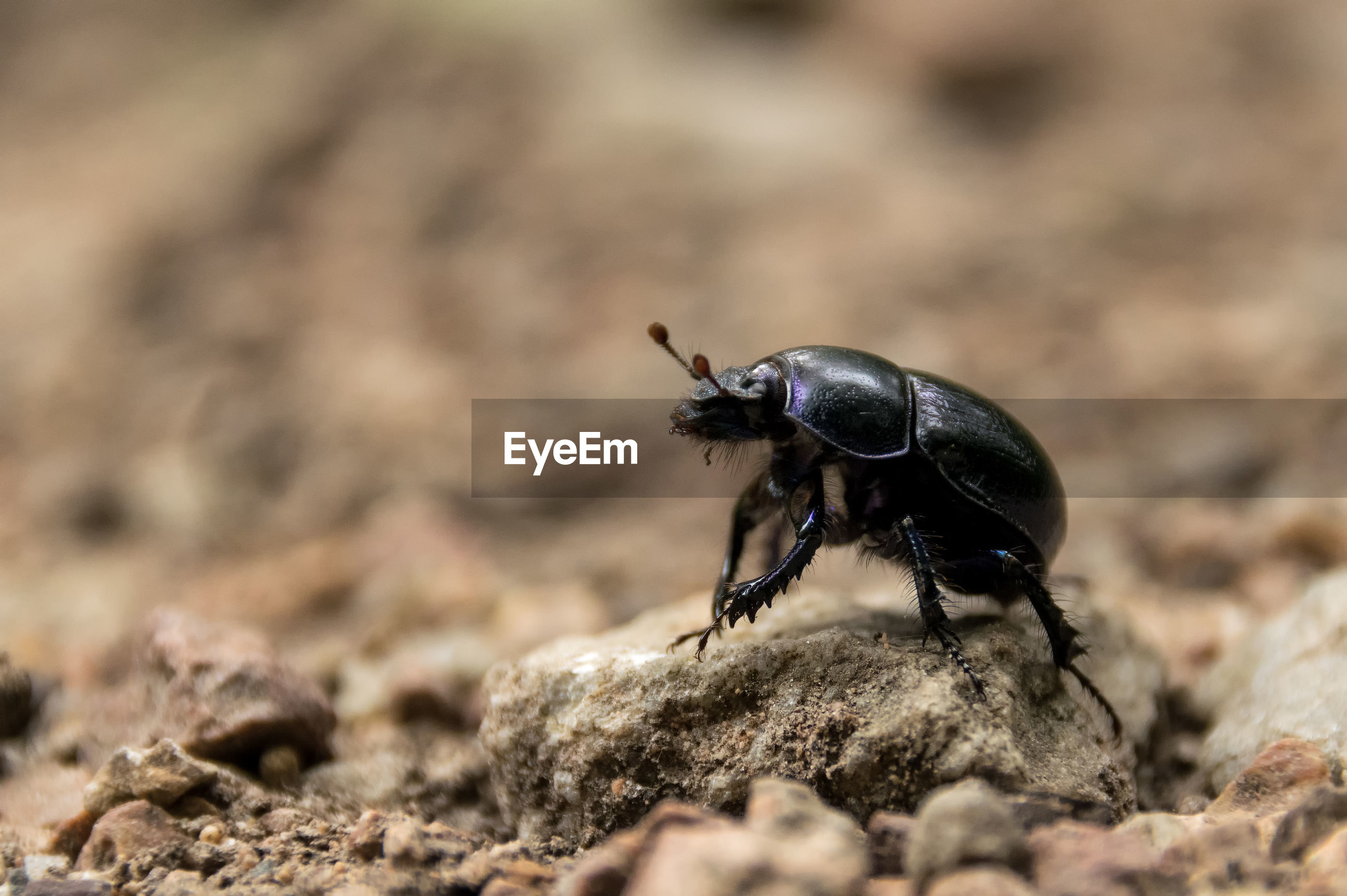 Close-up of black beetle