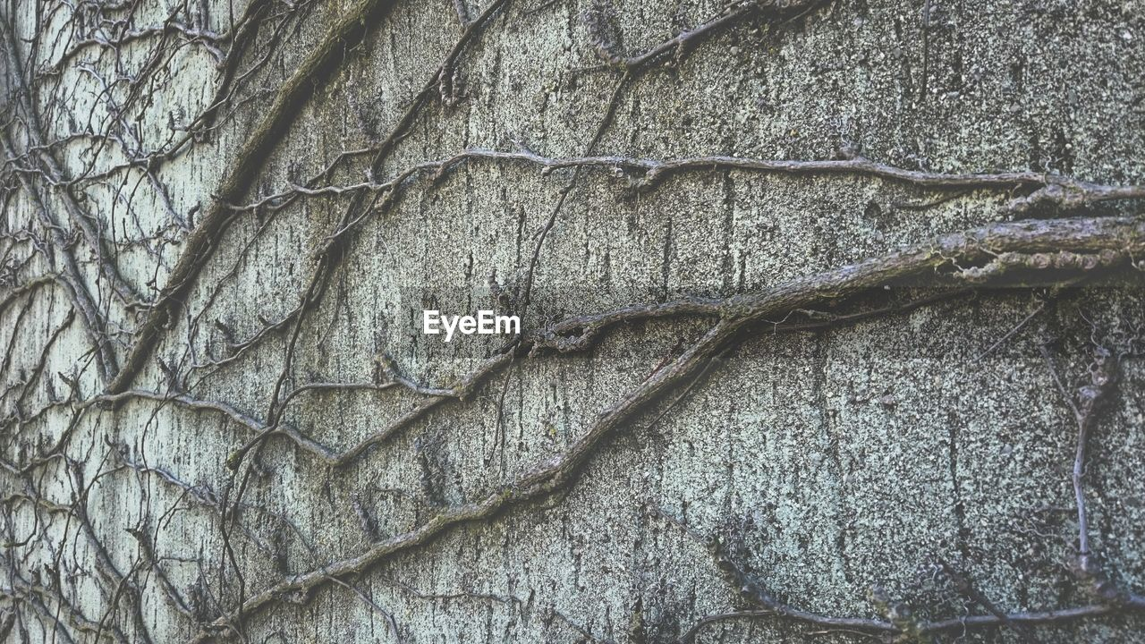 Tree roots on old wall