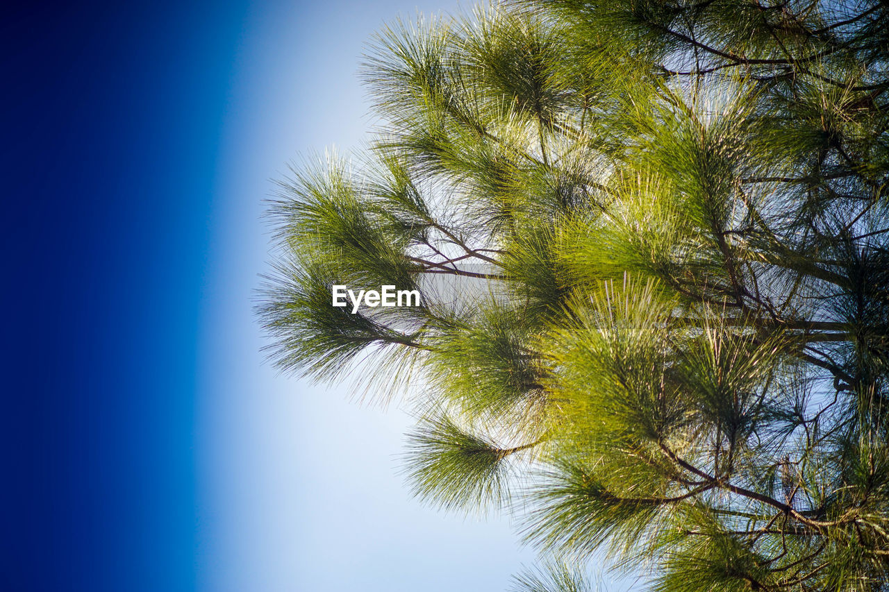nature, low angle view, sky, blue, clear sky, tree, day, beauty in nature, tranquility, outdoors, no people, close-up