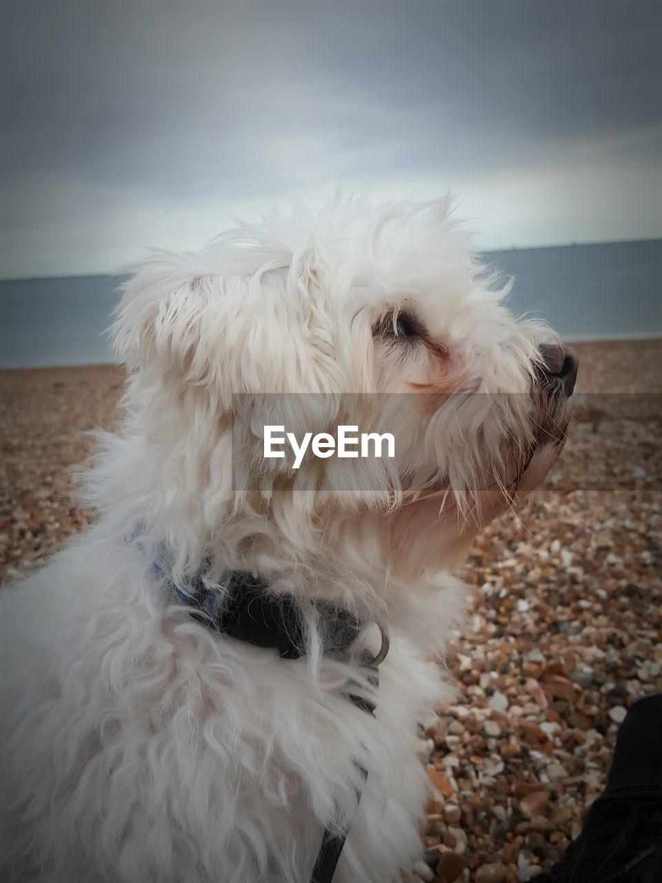 canine, dog, domestic, domestic animals, pets, one animal, animal themes, mammal, animal, vertebrate, no people, animal hair, white color, hair, close-up, sky, day, lap dog, focus on foreground, sea, small, animal head