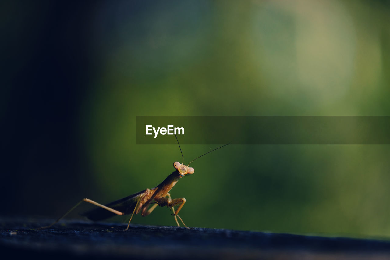 invertebrate, insect, animal themes, animal, animal wildlife, animals in the wild, one animal, close-up, selective focus, green color, nature, no people, day, animal antenna, focus on foreground, animal body part, outdoors, zoology, grasshopper, praying mantis