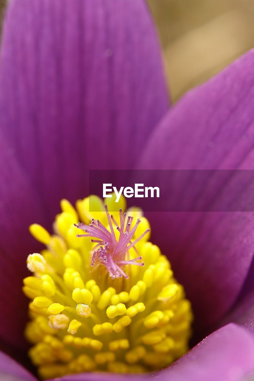 flowering plant, flower, vulnerability, fragility, beauty in nature, petal, freshness, yellow, flower head, plant, inflorescence, close-up, pollen, growth, nature, purple, selective focus, no people, pink color, crocus