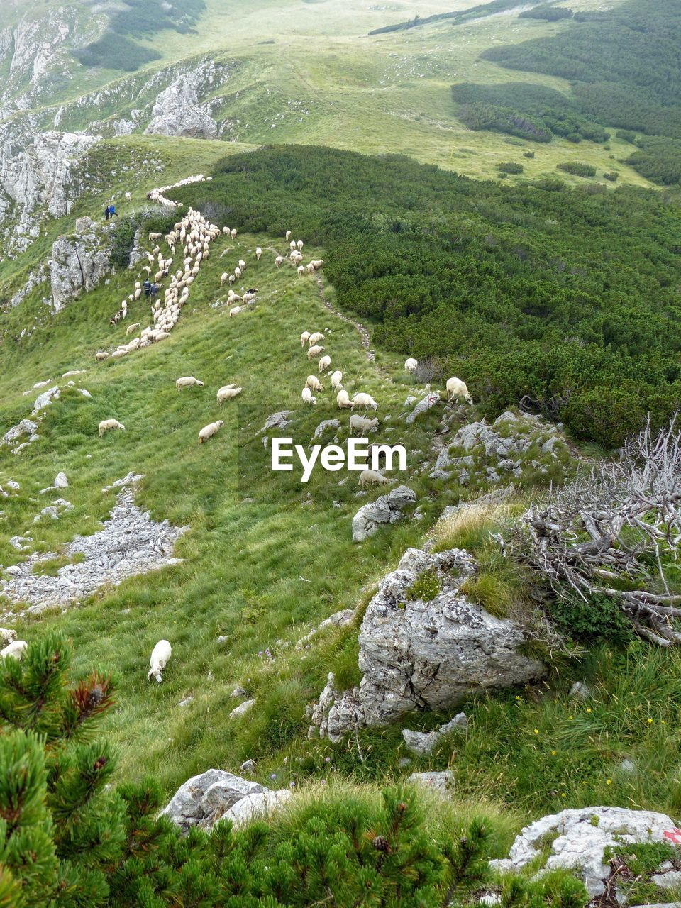 High Angle View Of Flock Of Sheep On Mountains