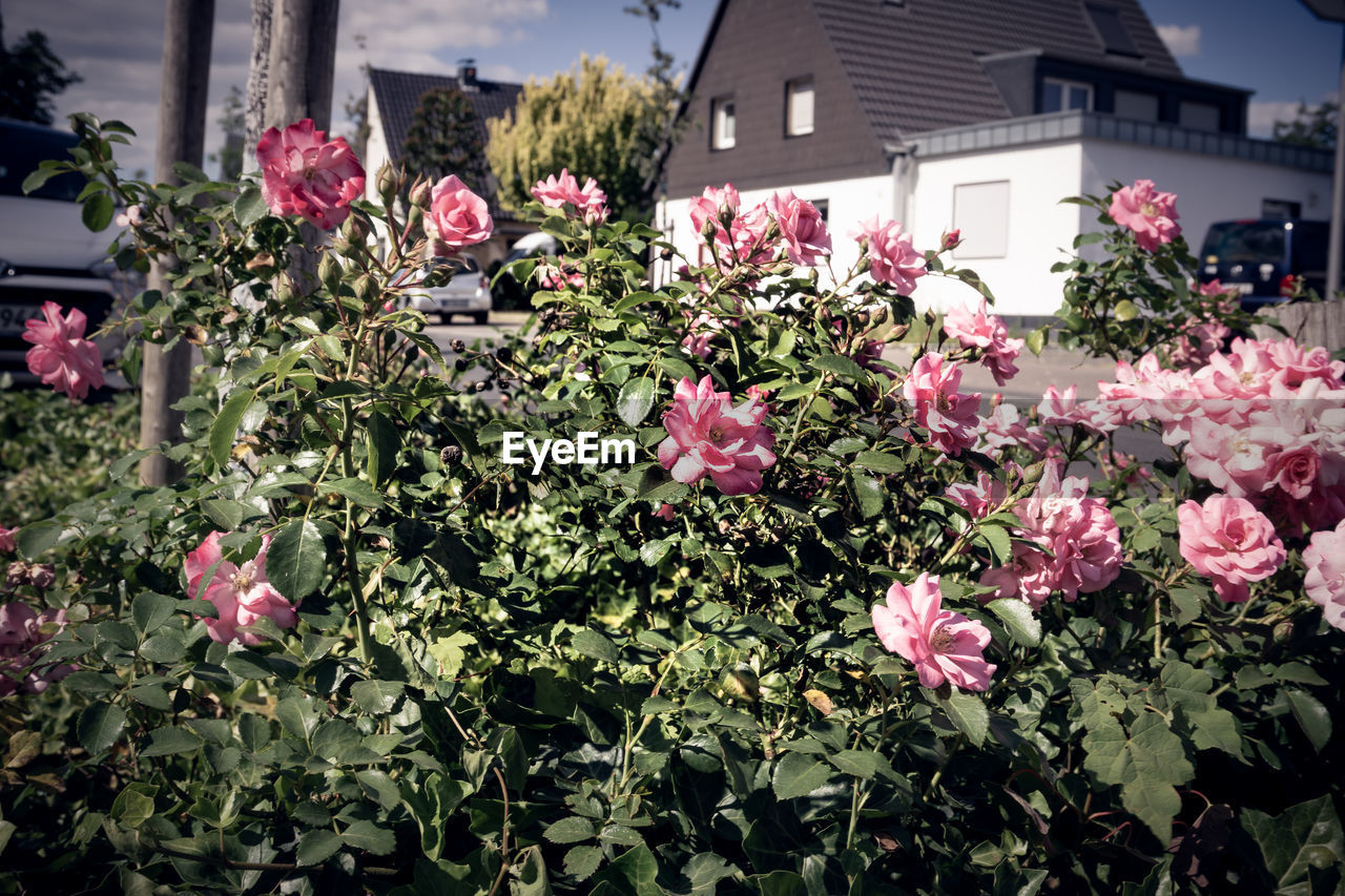 flowering plant, flower, plant, freshness, vulnerability, pink color, growth, beauty in nature, fragility, building exterior, built structure, architecture, petal, plant part, leaf, nature, day, close-up, no people, flower head, outdoors