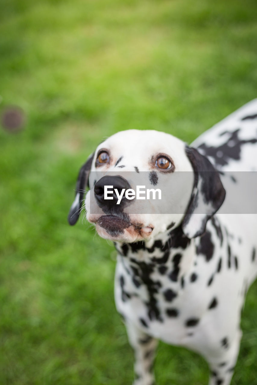 dog, canine, domestic, pets, domestic animals, one animal, animal themes, mammal, animal, dalmatian dog, grass, spotted, vertebrate, focus on foreground, plant, portrait, no people, looking, field, land, outdoors, animal head