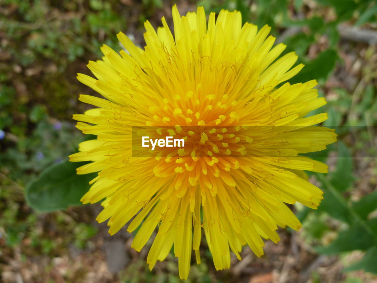 CLOSE-UP OF YELLOW FLOWER BLOOMING IN PARK