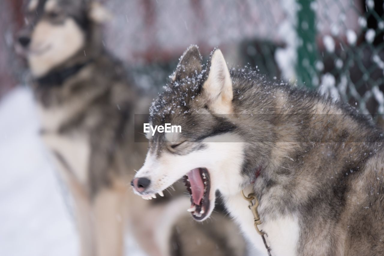 Close-Up Of Siberian Husky Yawning During Winter