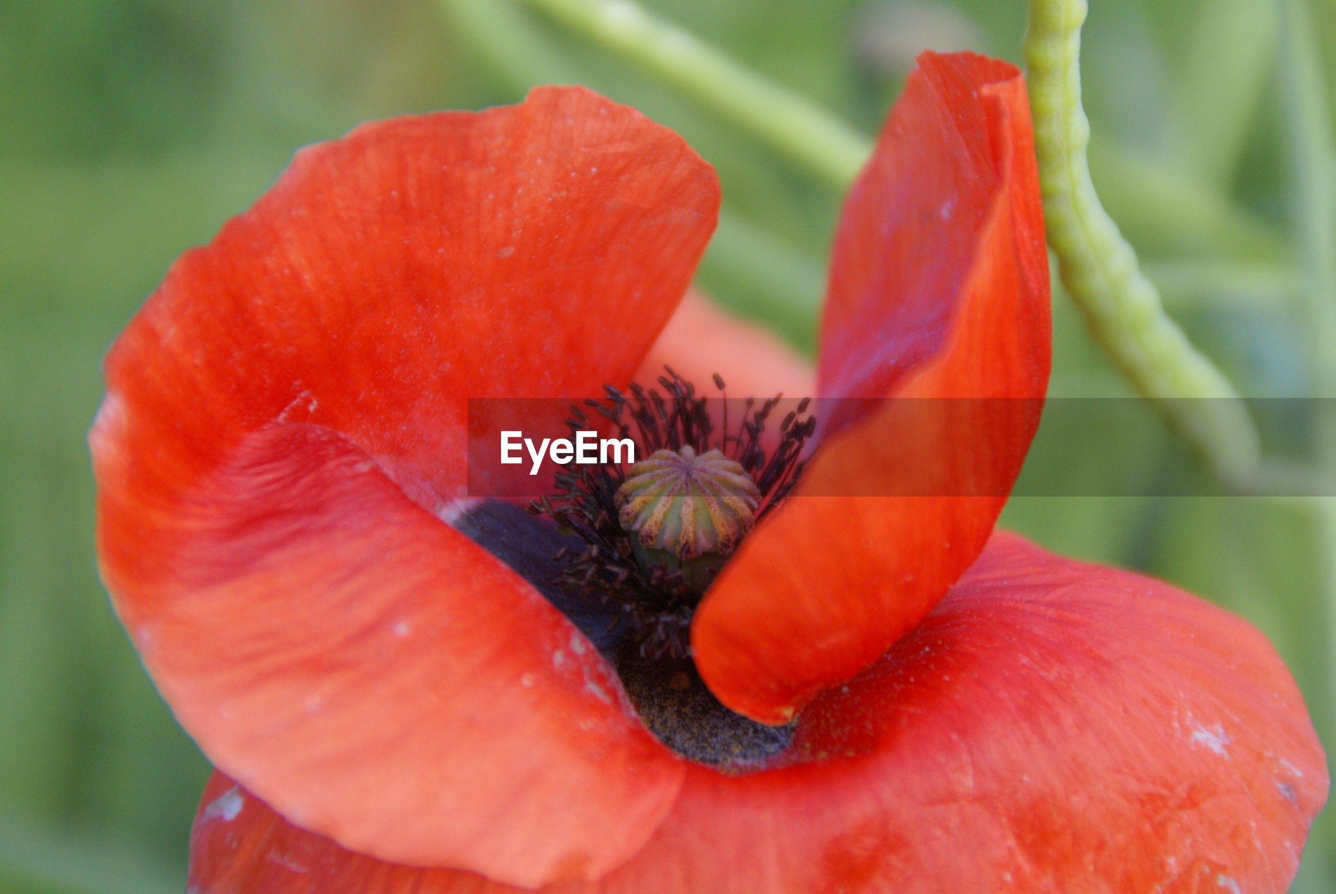 CLOSE-UP OF RED POPPY WITH YELLOW FLOWER