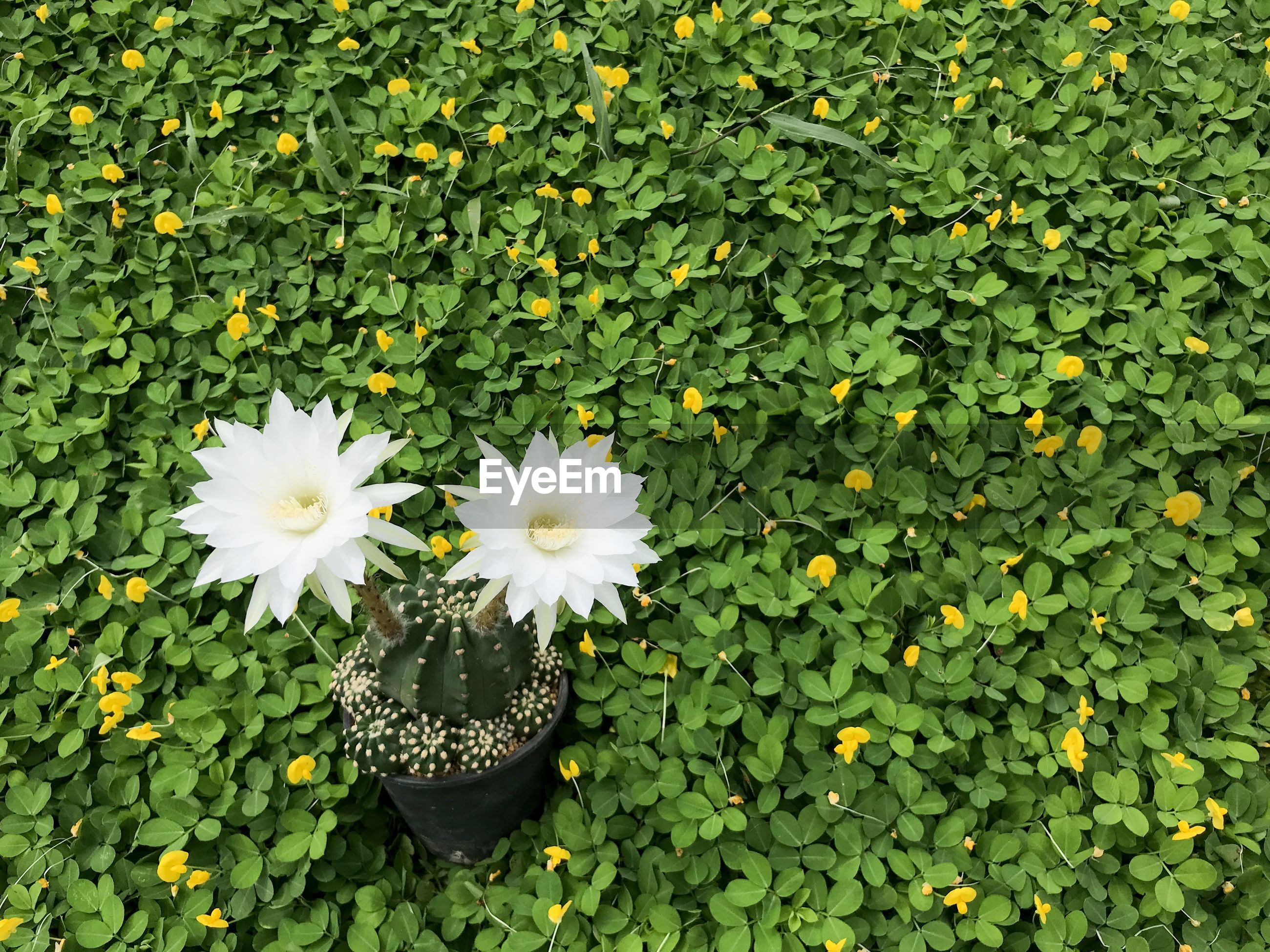 HIGH ANGLE VIEW OF WHITE FLOWERING PLANTS IN BLOOM