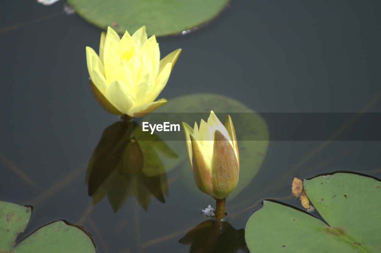 flower, growth, beauty in nature, nature, leaf, freshness, petal, water lily, plant, fragility, lotus water lily, flower head, lake, outdoors, no people, green color, water, day, lotus, lily pad, blooming, close-up, crocus