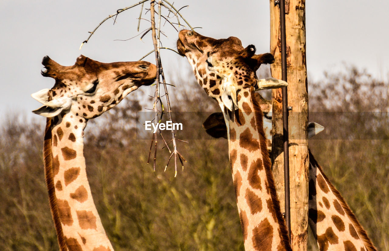 animal themes, animals in the wild, mammal, two animals, animal wildlife, giraffe, day, no people, safari animals, focus on foreground, outdoors, nature, standing, close-up, cheetah, sky