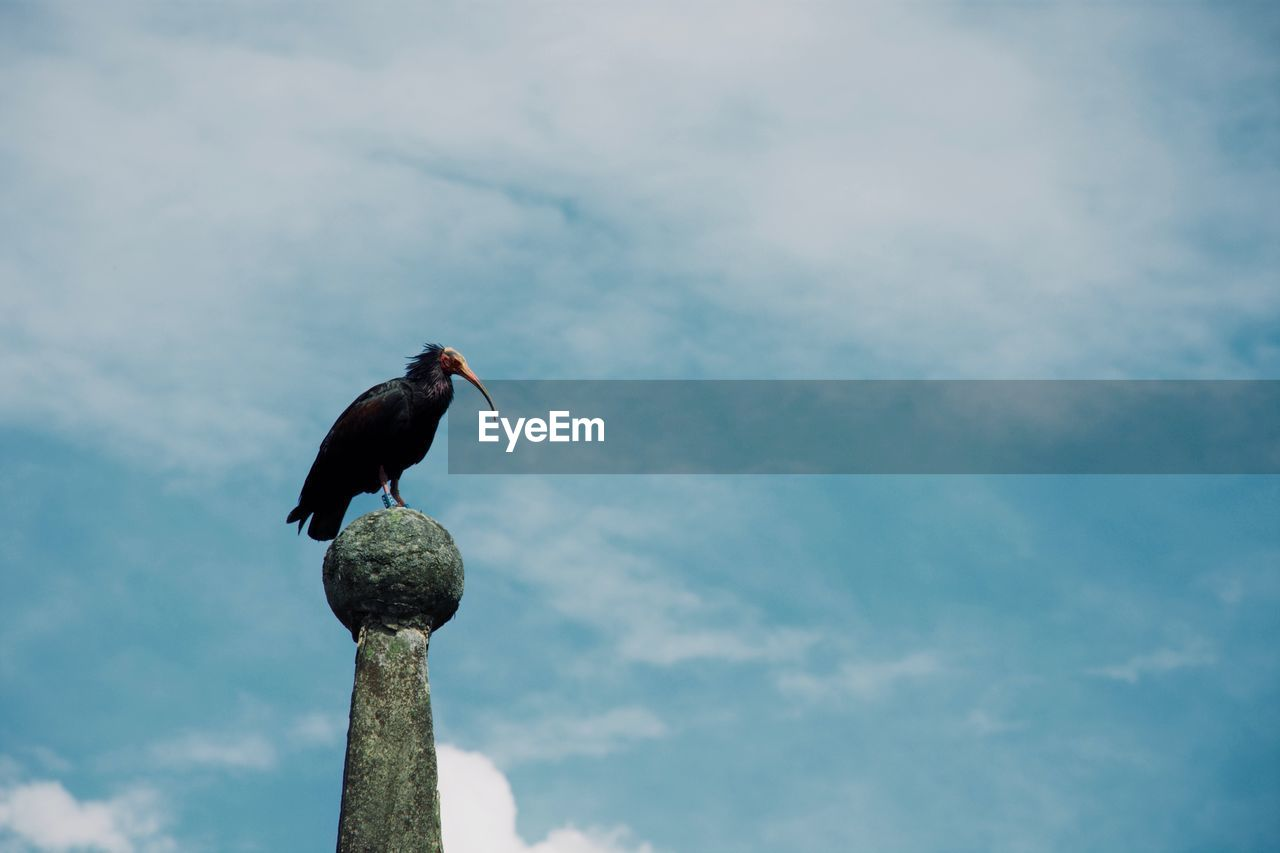 animal wildlife, animals in the wild, sky, vertebrate, animal, one animal, cloud - sky, animal themes, bird, perching, low angle view, no people, day, nature, outdoors, focus on foreground, beak, zoology, full length, post, wooden post