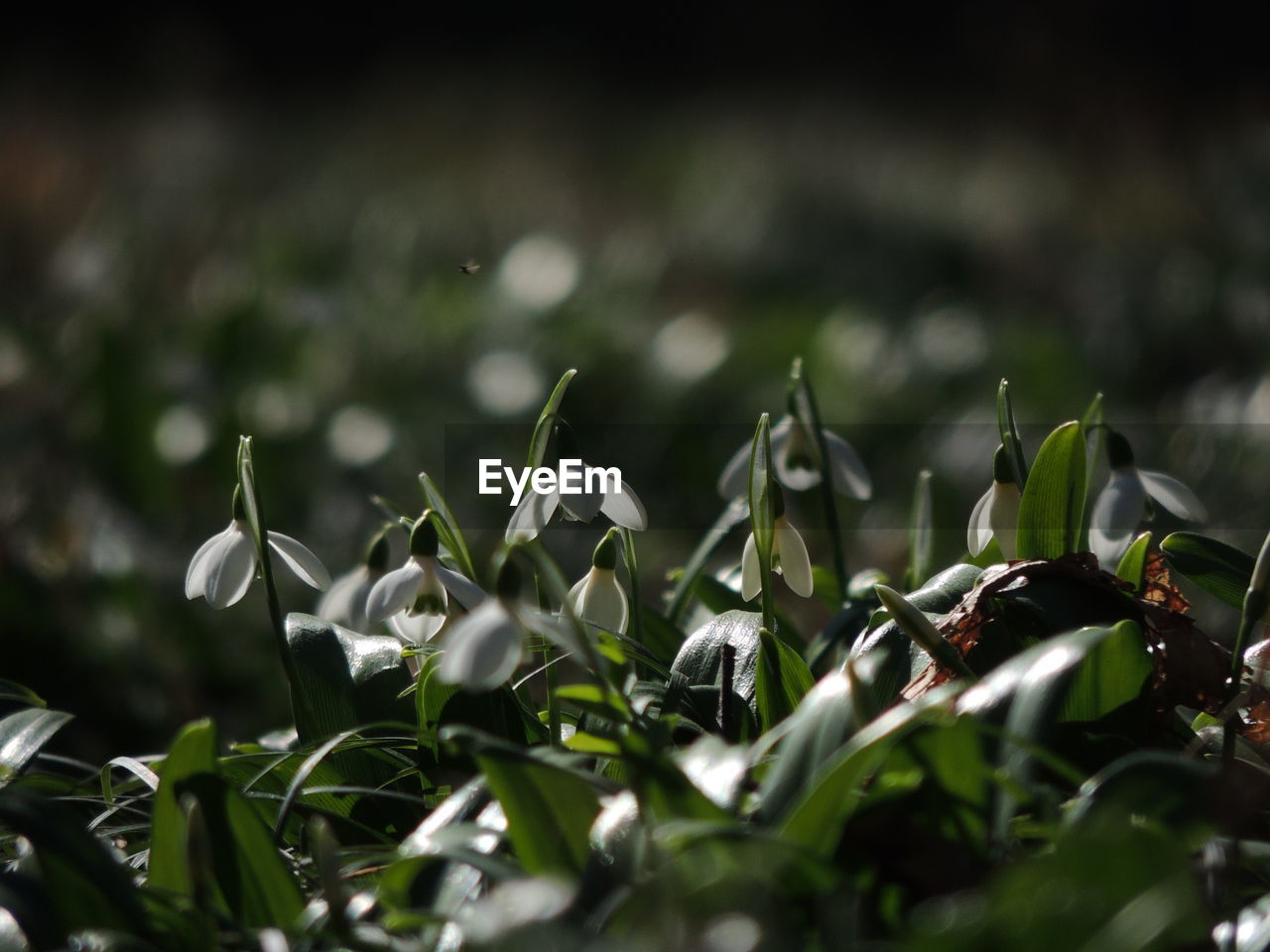 growth, nature, selective focus, no people, plant, beauty in nature, day, outdoors, green color, close-up, fragility, snowdrop, freshness