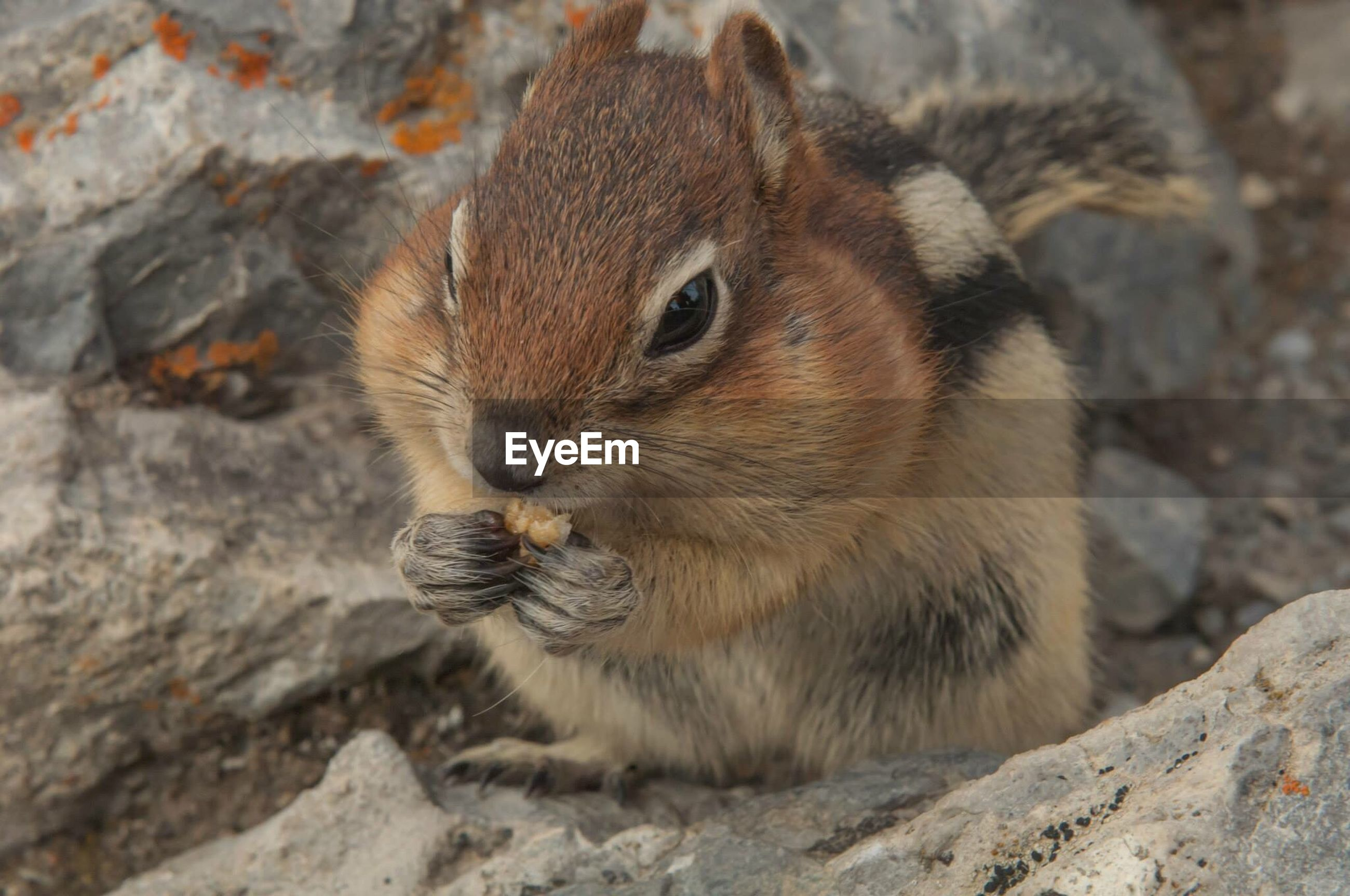animal themes, animal wildlife, animal, rodent, one animal, animals in the wild, mammal, close-up, rock, rock - object, no people, solid, day, focus on foreground, vertebrate, eating, nature, outdoors, squirrel, chipmunk, whisker